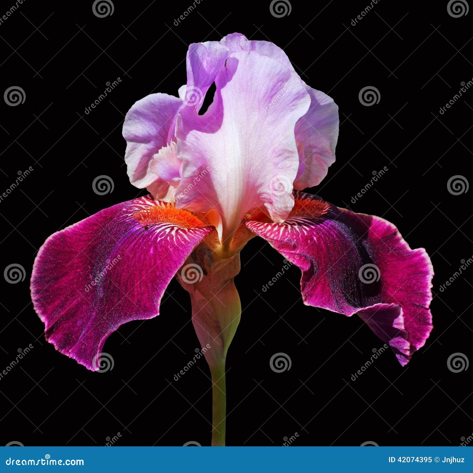 Bearded Iris Flower Stock Image Image Of Backdraft Plant 42074395
