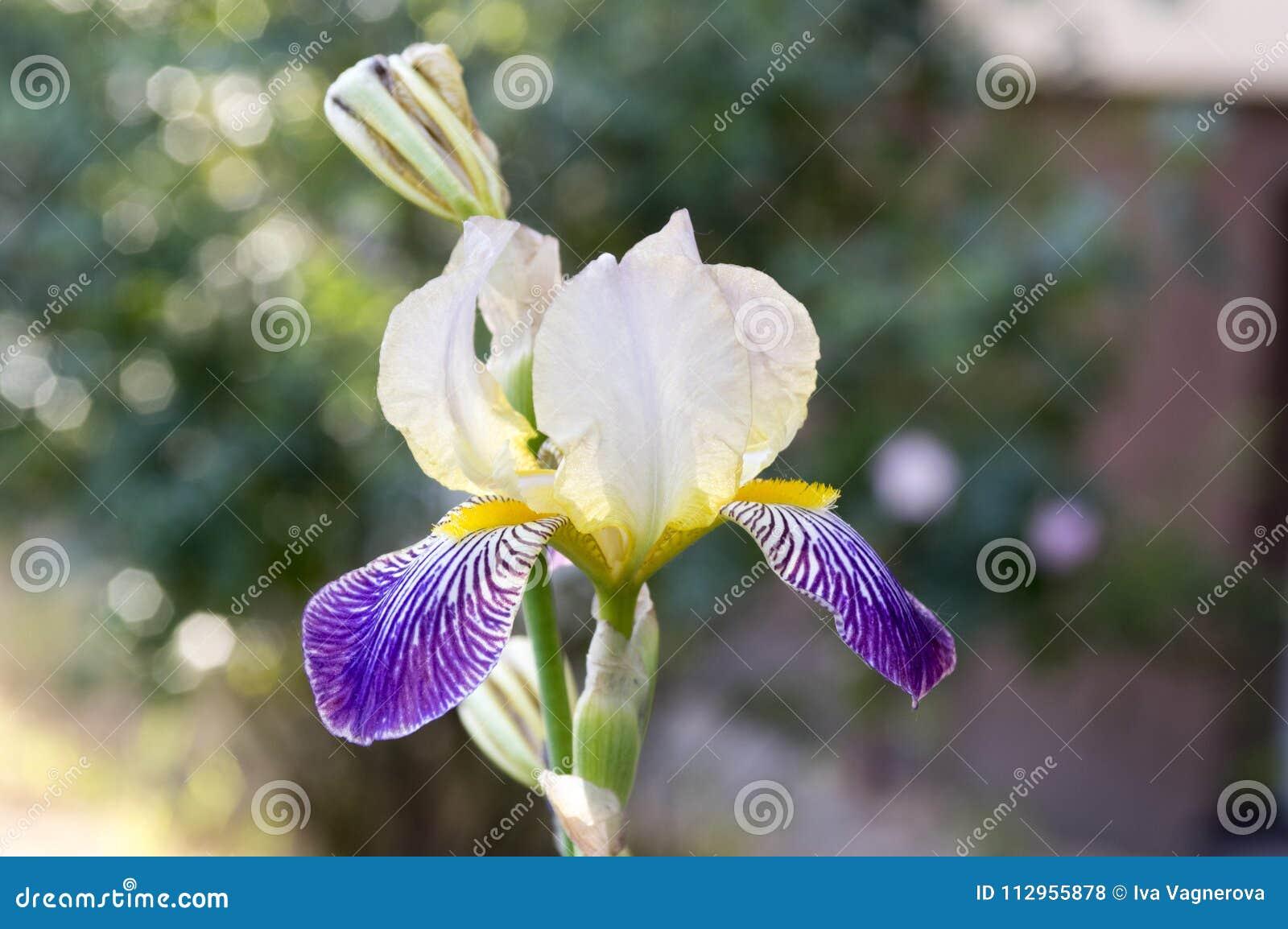 Bearded Iris Flower Iris Germanica In Bloom Stock Photo Image Of