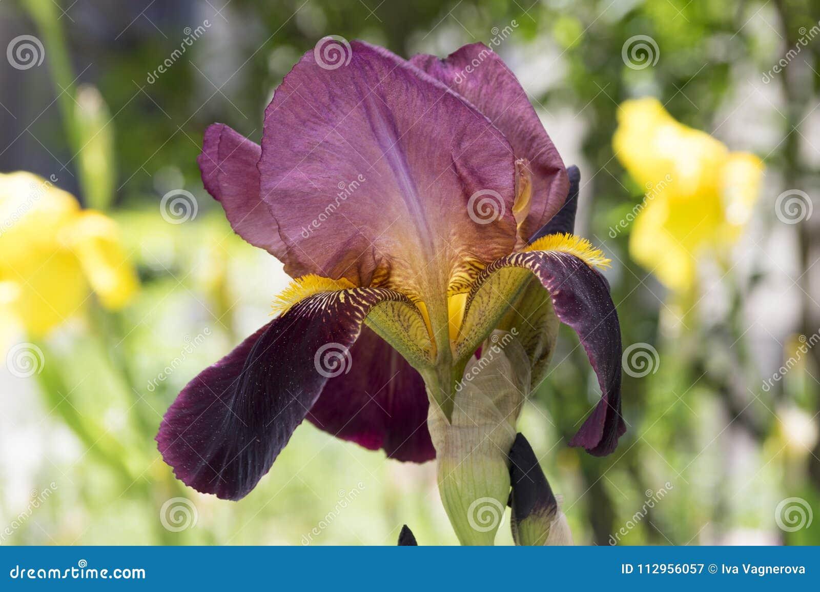 Bearded Iris Flower Iris Germanica In Bloom With Rain Drops Stock