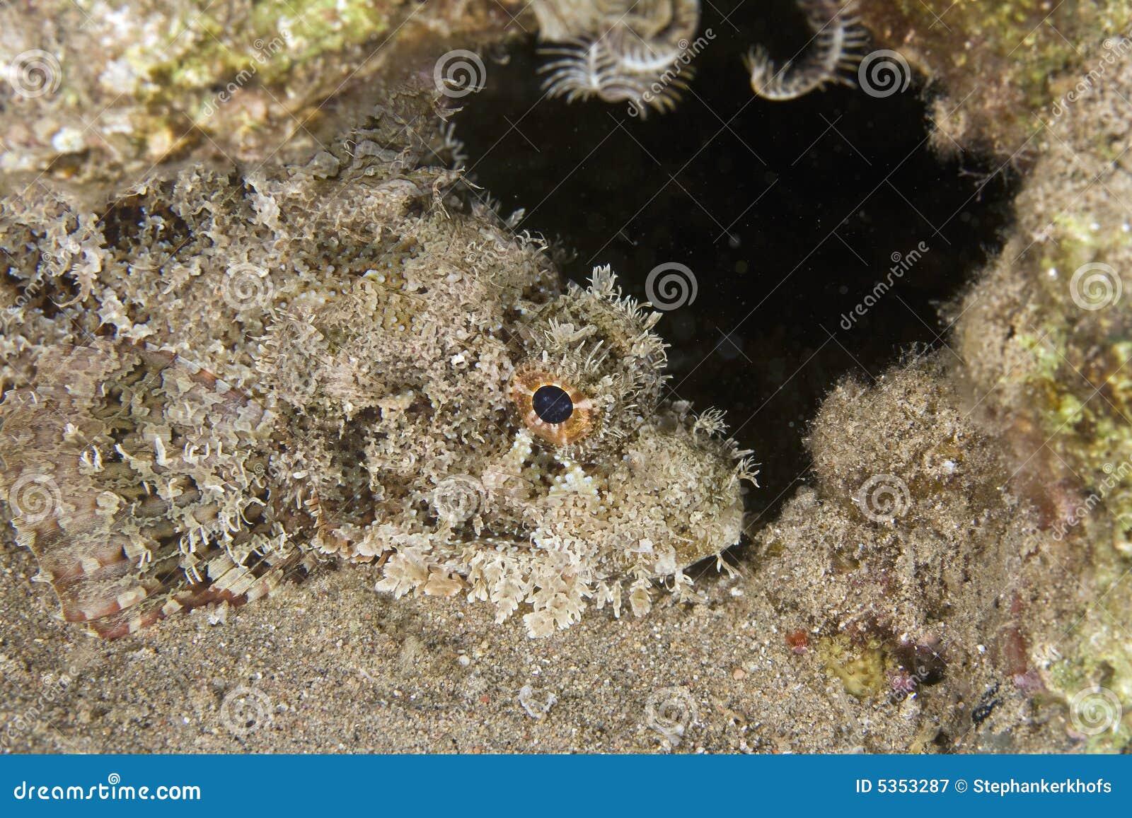 Bearded scorpionfish (scorpaenopsis barbatus)