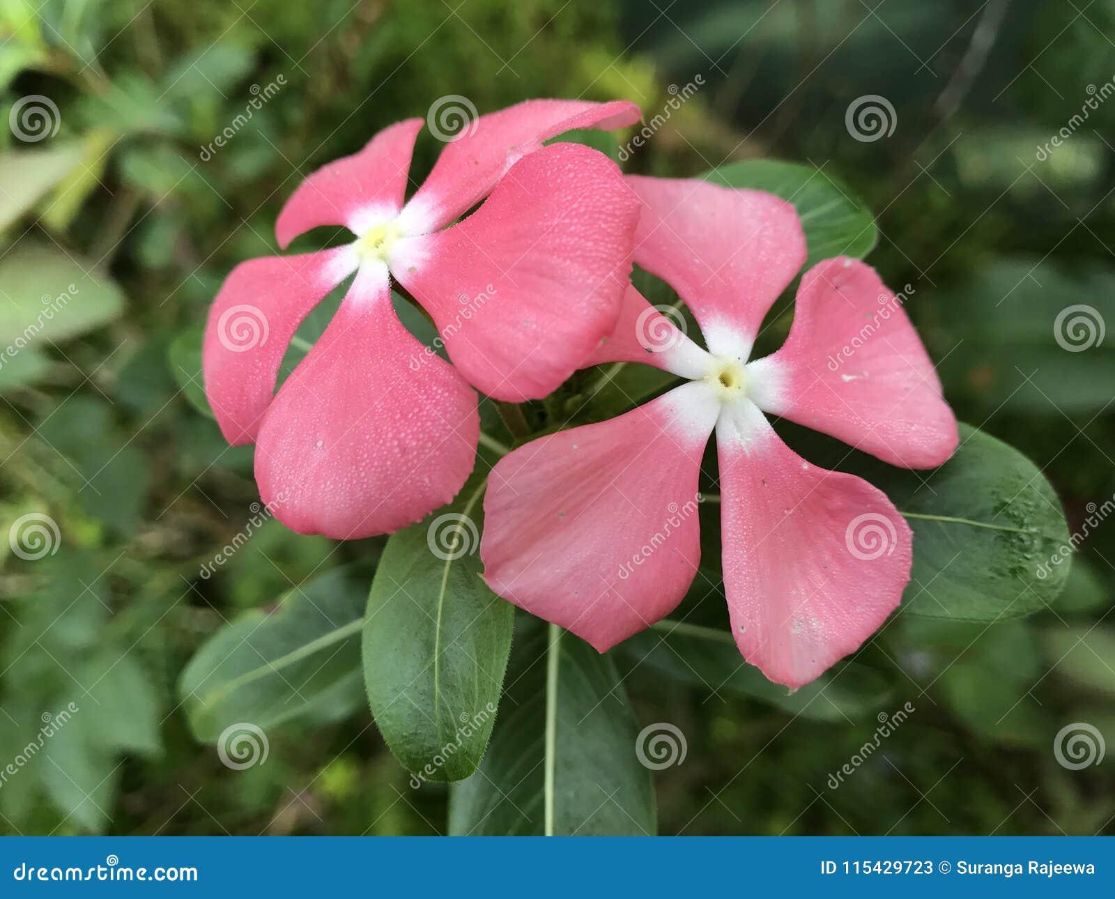Sri Lankan Beautiful Flowers Stock Image Image Of Constipation
