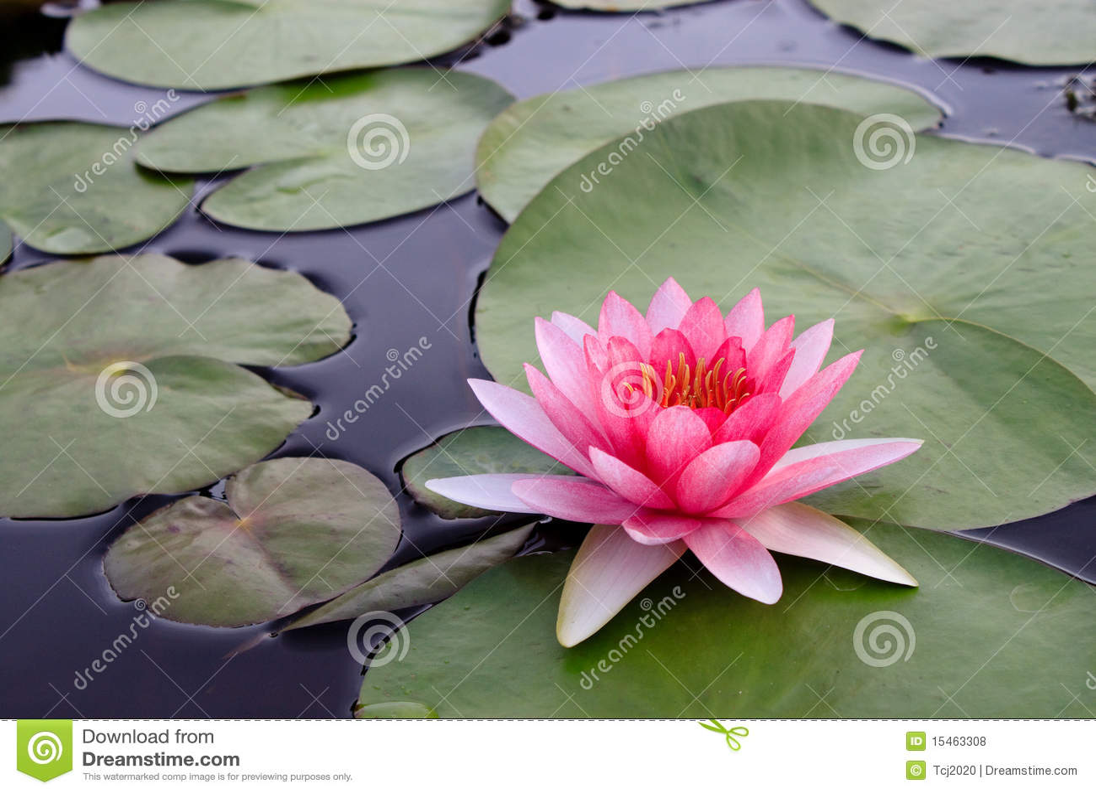 Beatiful Pink Lotus