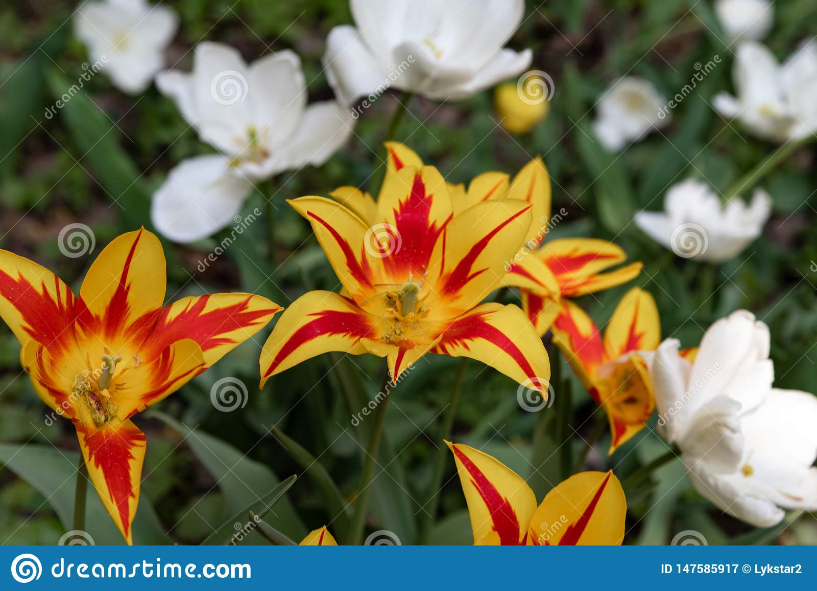 Beau avec les tulipes oranges de pelouse pourpre sur le fond clair Jour d ?t? ensoleill? Fond floral lumineux