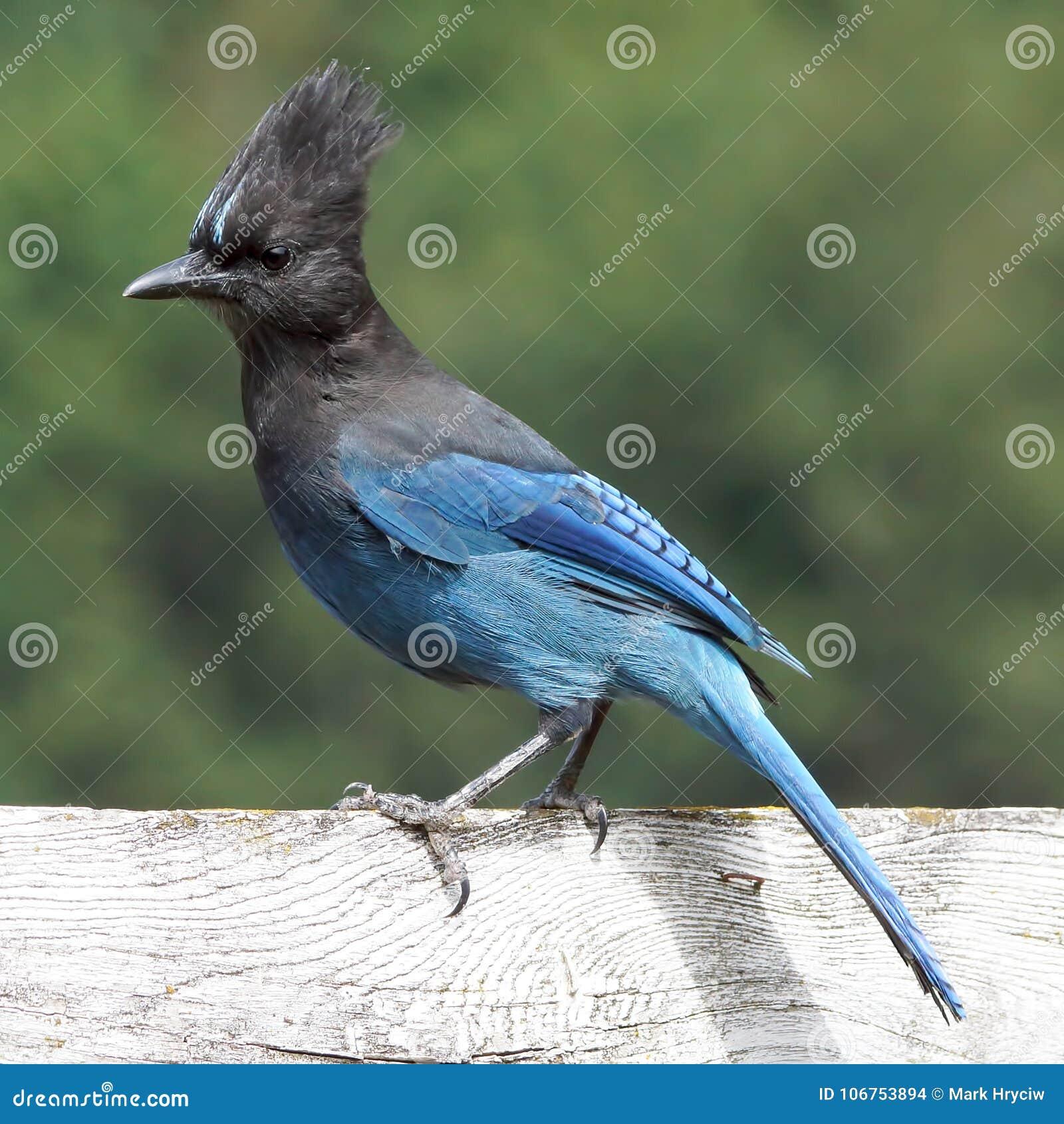 Beau ` bleu de Steller s Jay Perched sur une barrière blanche superficielle par les agents