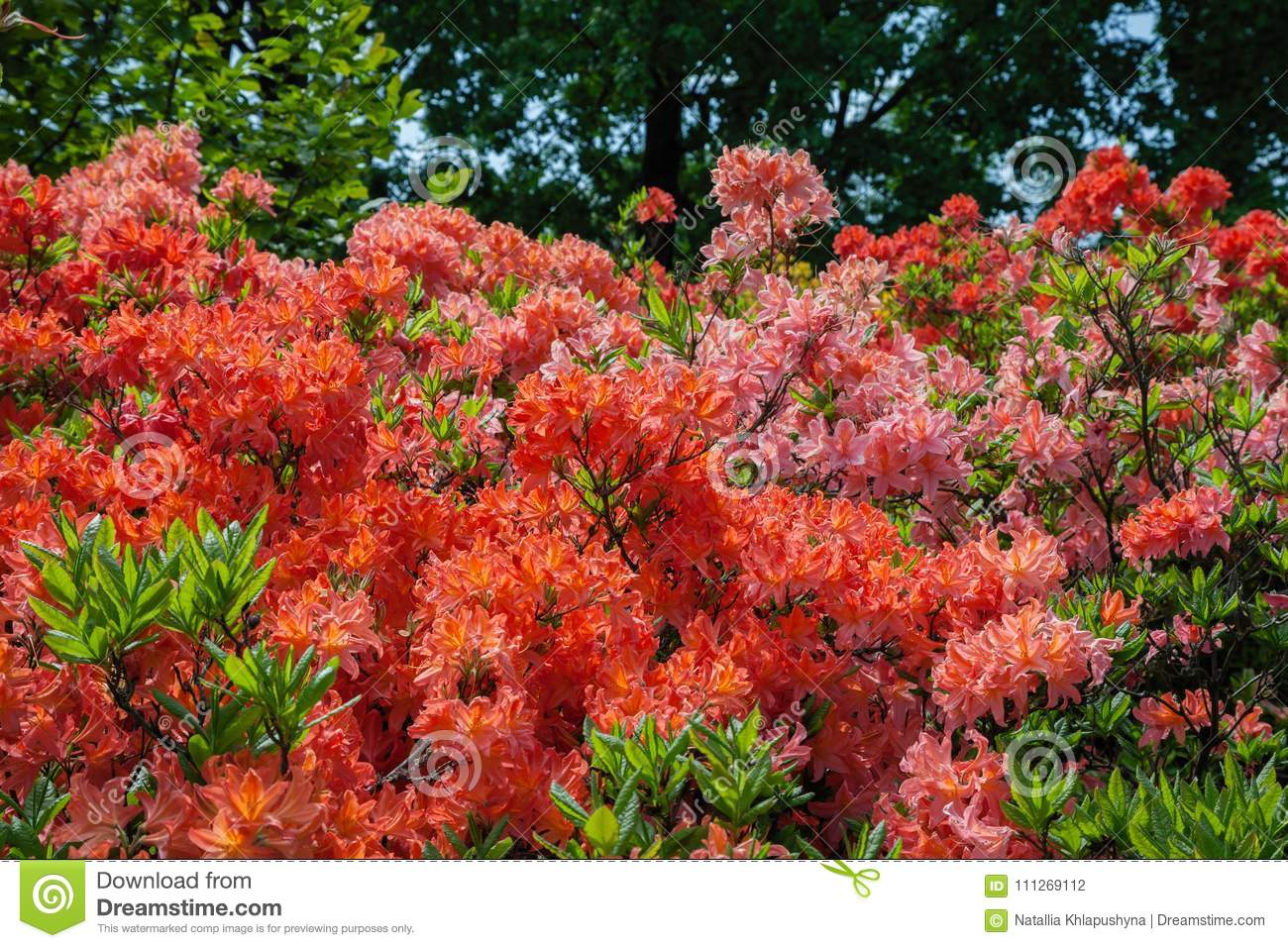 beau buisson de rhododendron dans le jardin d 39 t photo stock image du horticulture corail. Black Bedroom Furniture Sets. Home Design Ideas