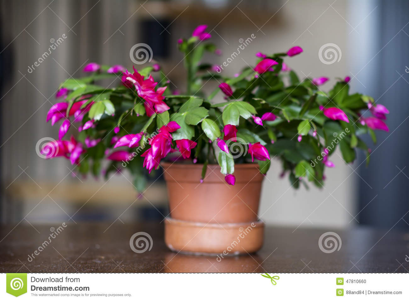 Beau cactus de no l rose dans un pot d 39 argile photo stock image 47810660 - Rose de noel en pot ...