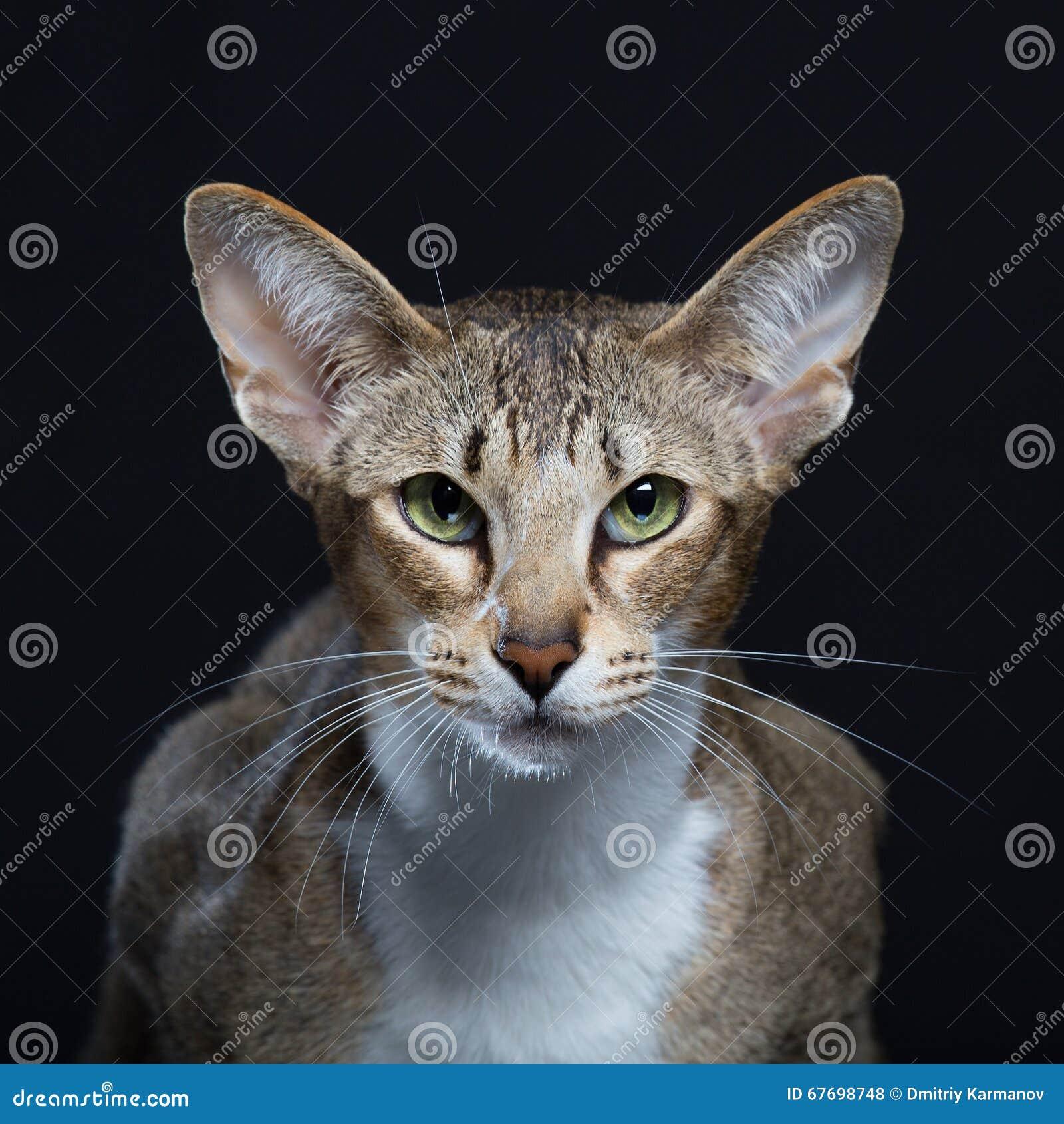Beau chat avec de grandes oreilles