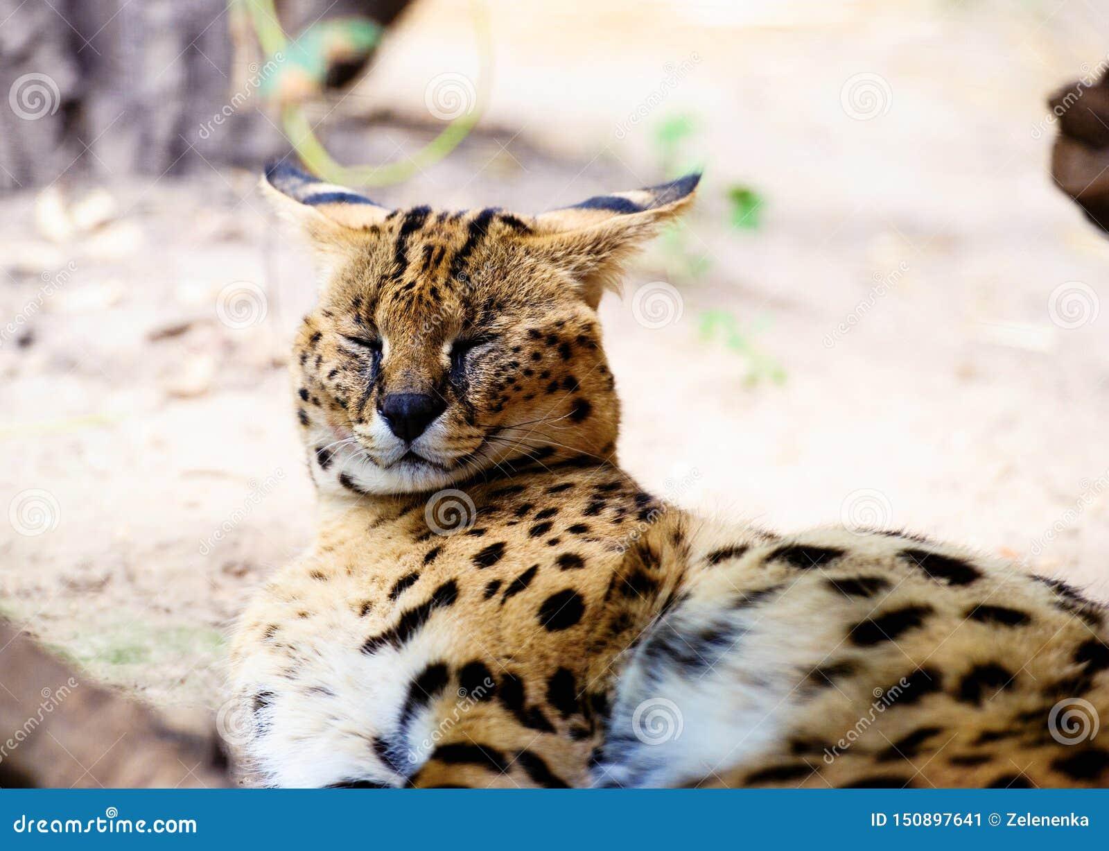 Beau chat de serval