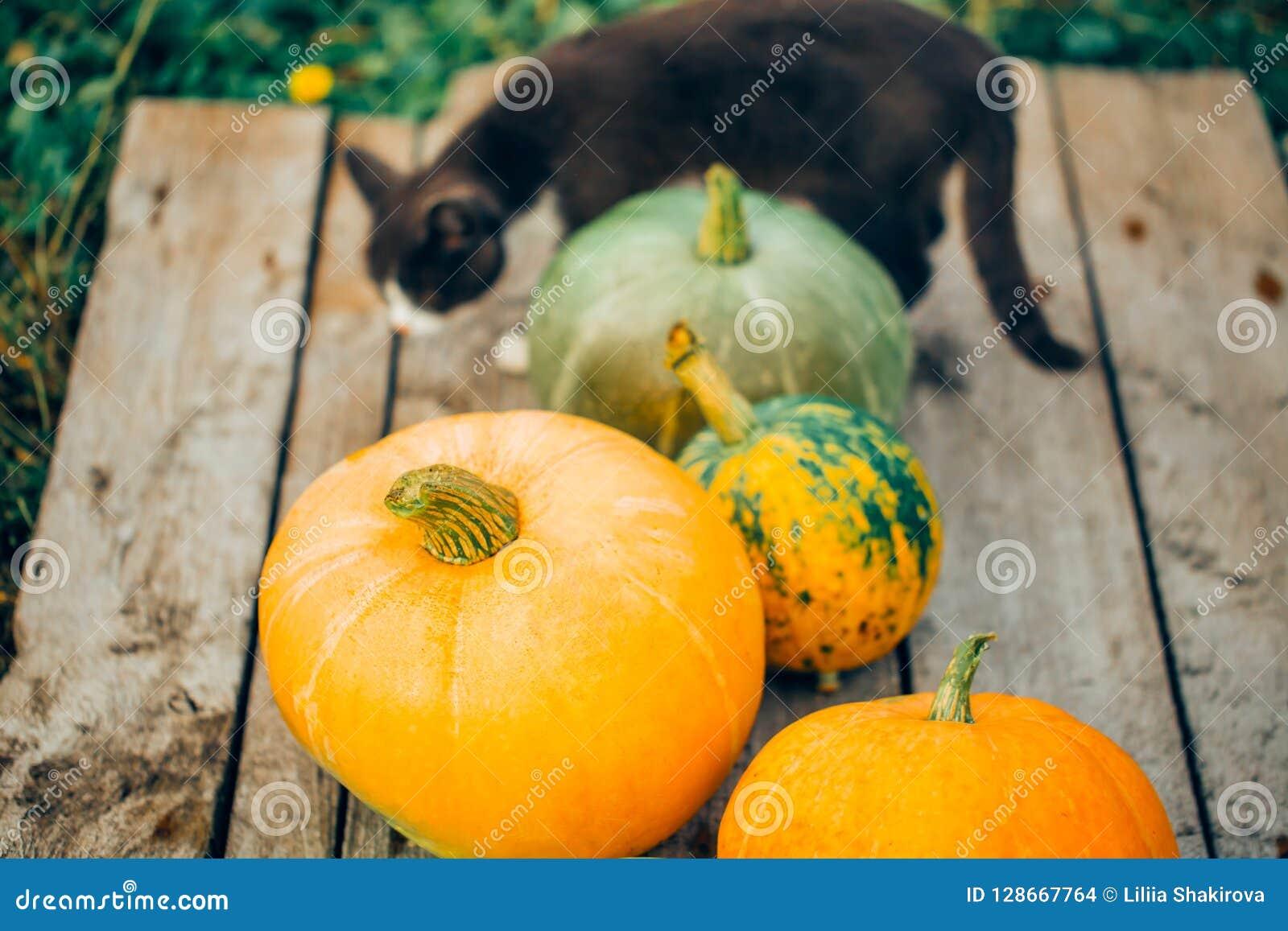 Beau chat parmi les grands potirons, fond en bois