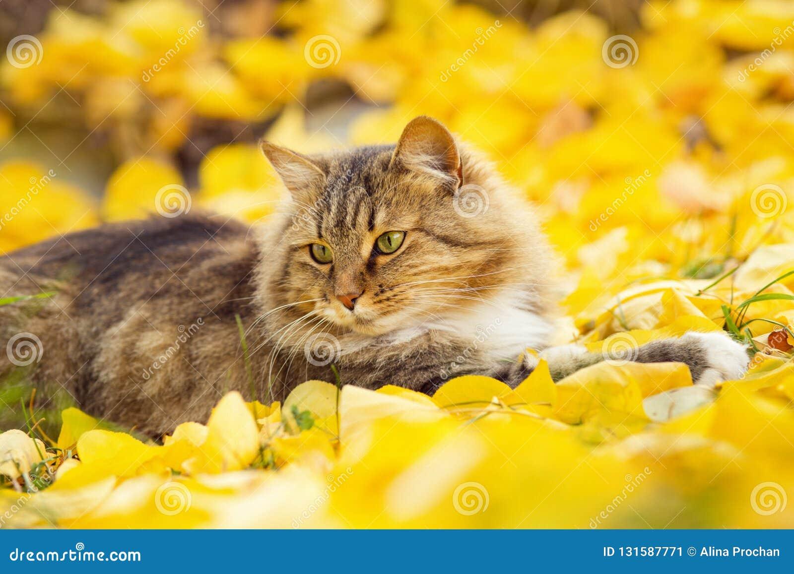 Beau chat sibérien pelucheux se trouvant sur le feuillage jaune tombé, animal familier marchant sur la nature pendant l automne