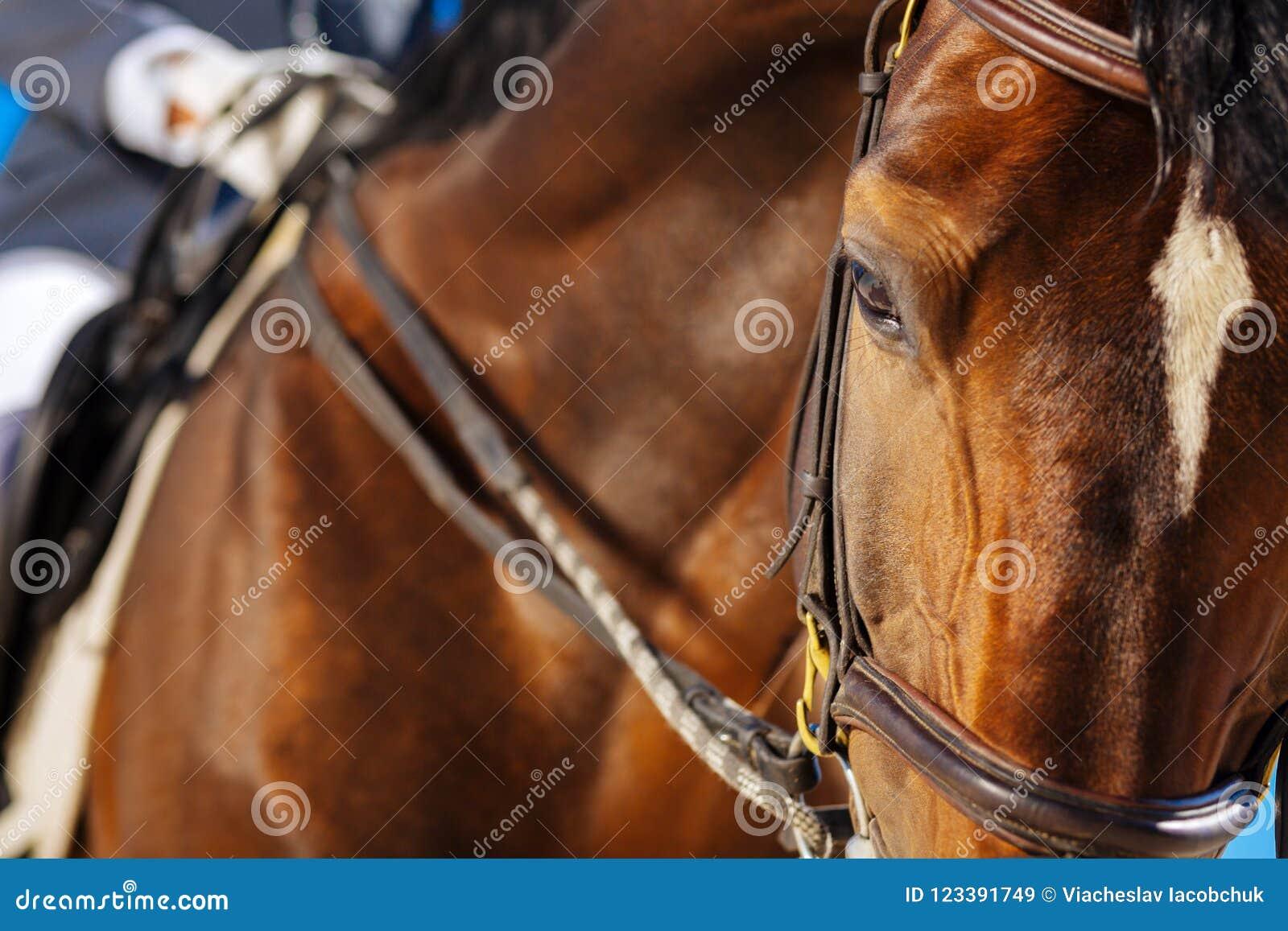 Beau cheval de course aux yeux noirs regardant un peu fatigué