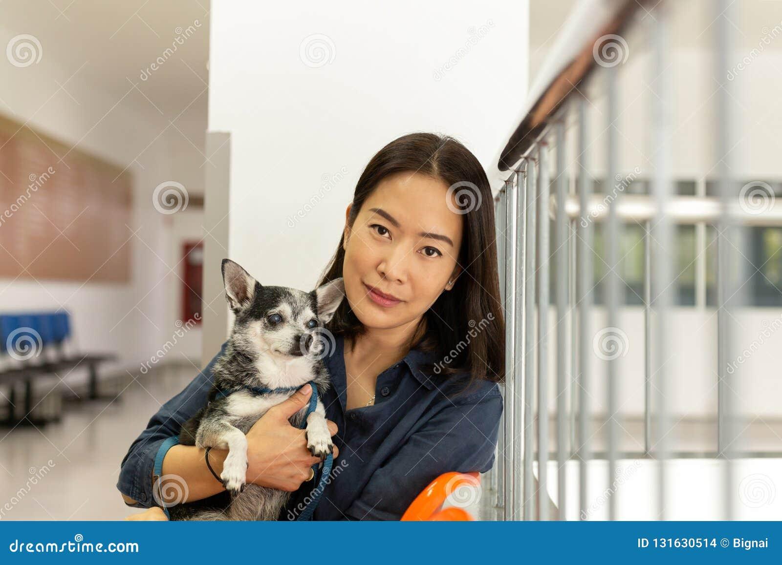 Beau chien de chiwawa de participation de femme à l hôpital de vétérinaire