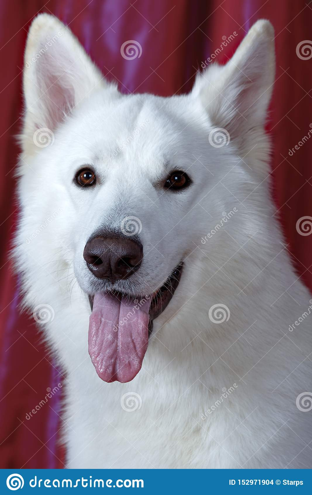 Beau chien de couleur blanche neigeuse sur le fond magenta Grande race suisse blanche de berger Portrait haut étroit de chien sag