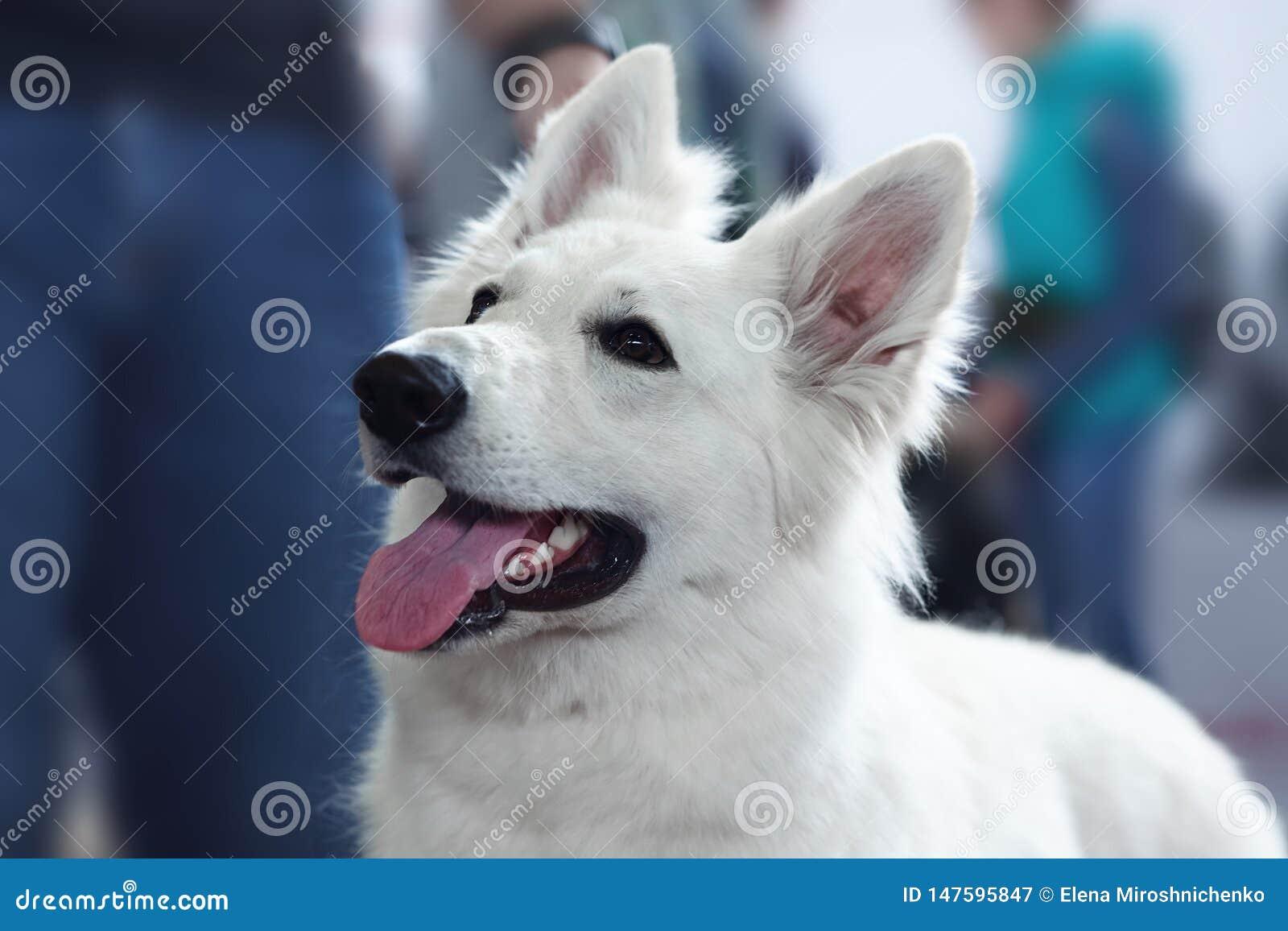 Beau chien de la race suisse blanche de berger Portrait haut étroit de chien sage avec le regard de sourire heureux