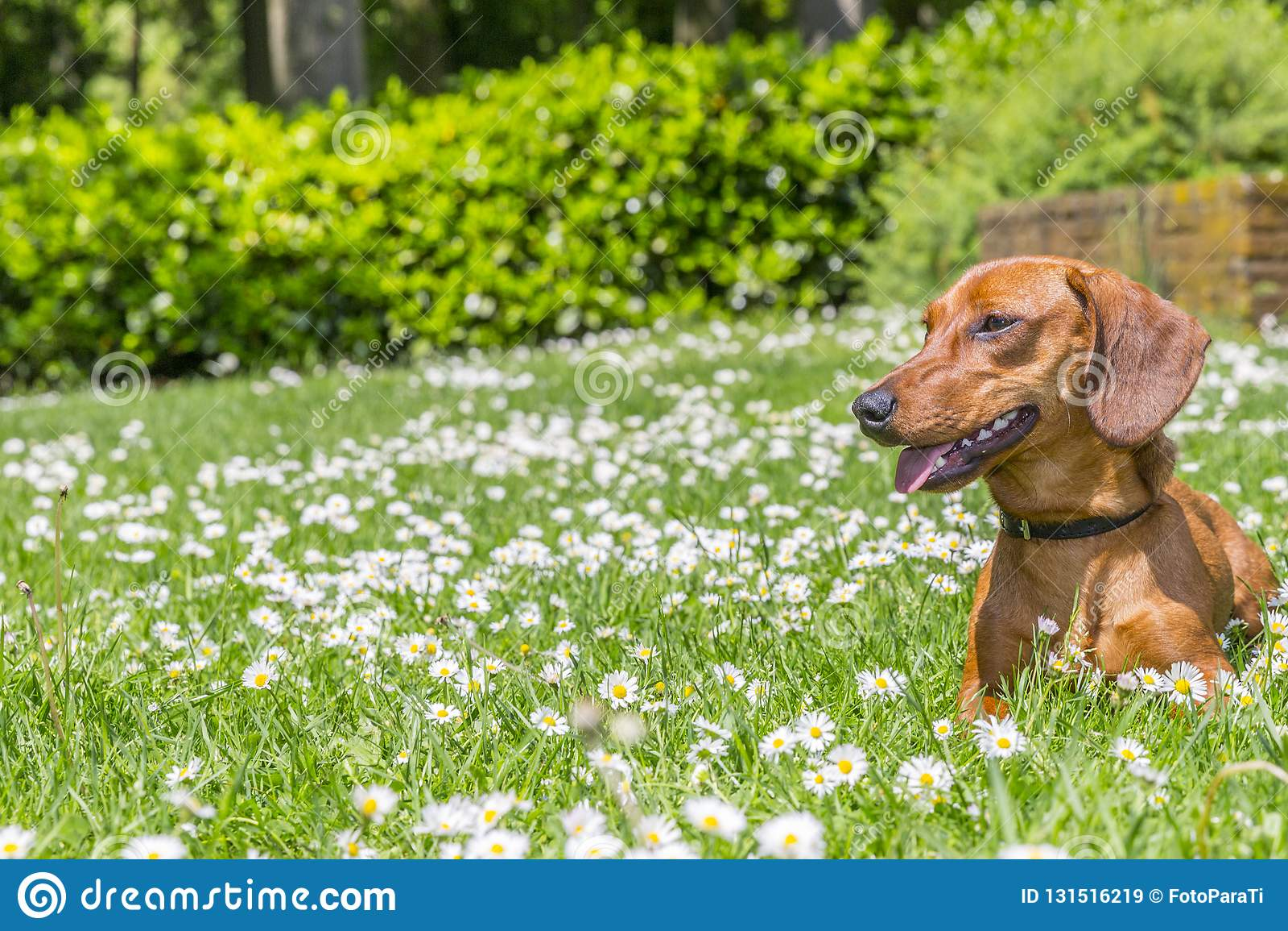 Beau chien de saucisse se trouvant sur une herbe verte