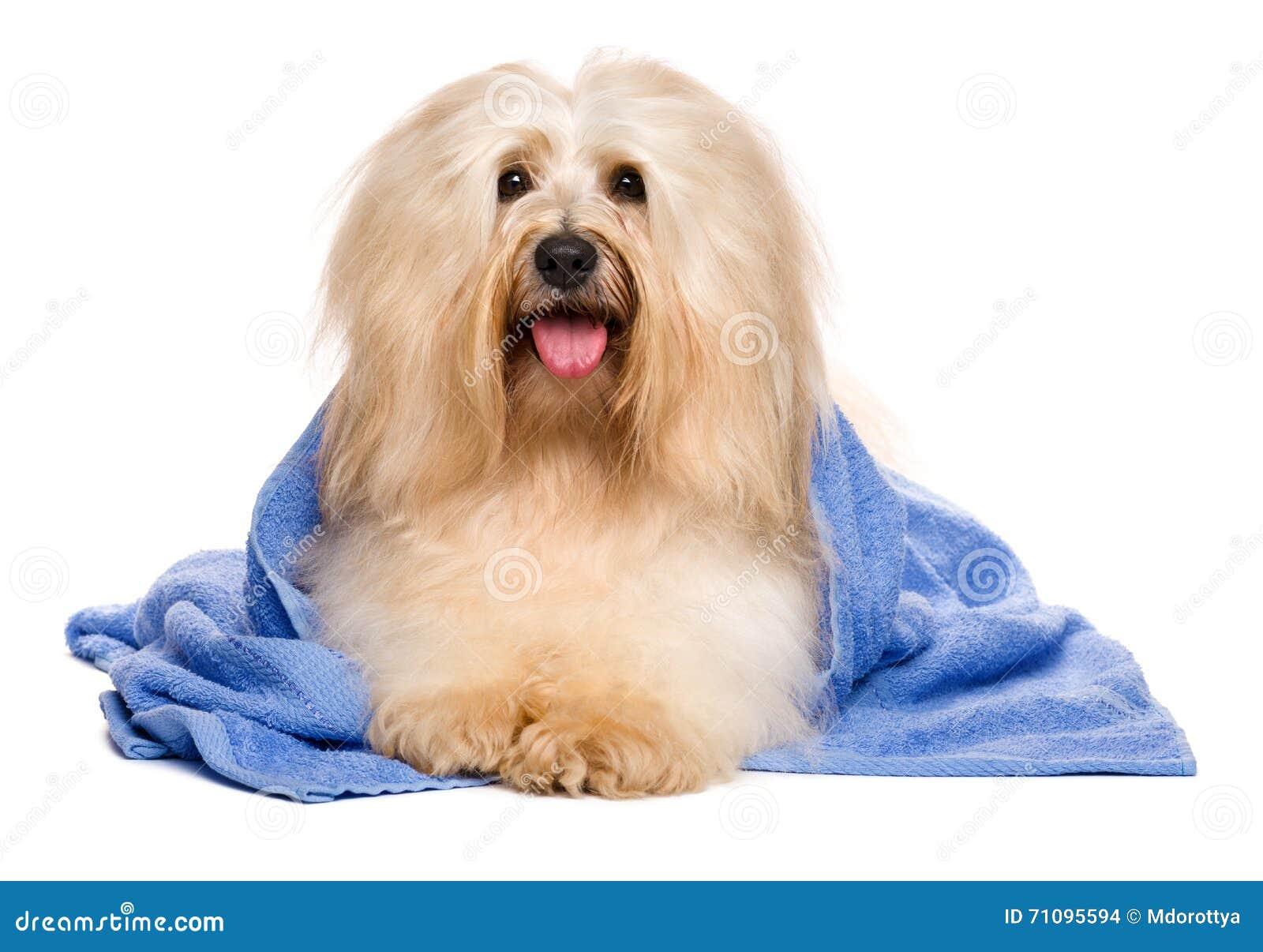 Beau chien havanese rougeâtre après le bain se situant dans une serviette bleue