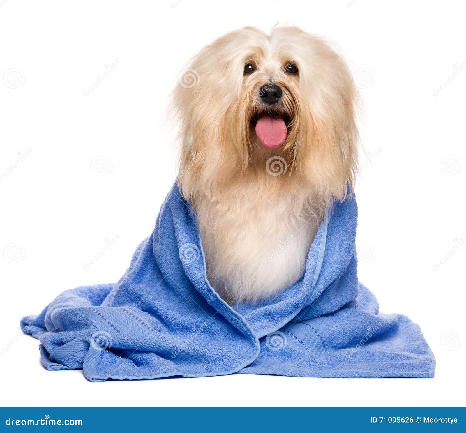 Beau chien havanese rougeâtre baigné enveloppé dans une serviette bleue