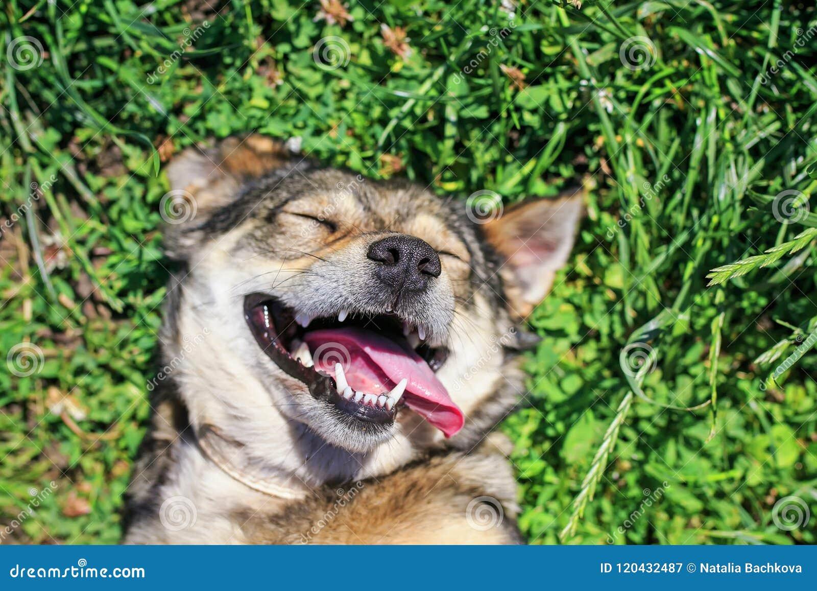 Beau chien heureux se trouvant sur l herbe verte luxuriante en parc d été, fu