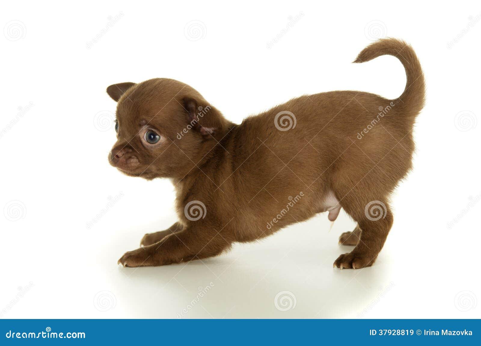 Beau chiot brun de chiwawa