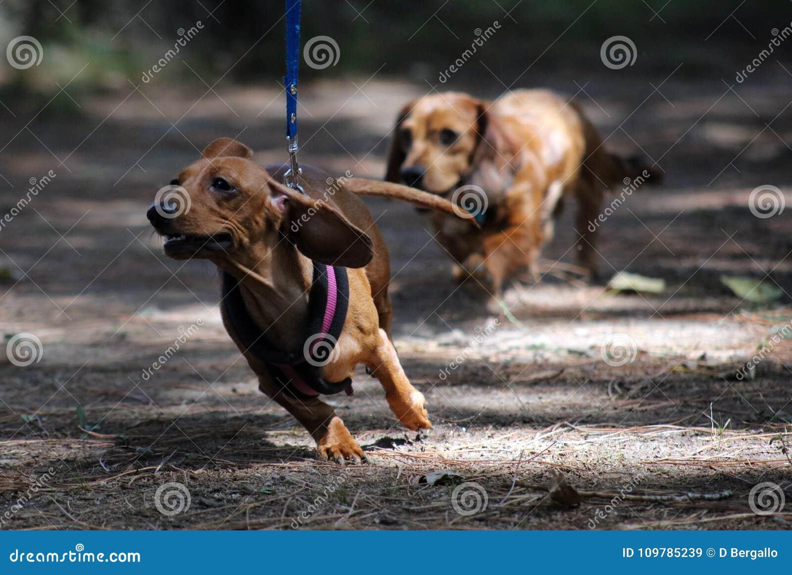Beau chiot de petit de teckel chien mignon de saucisse