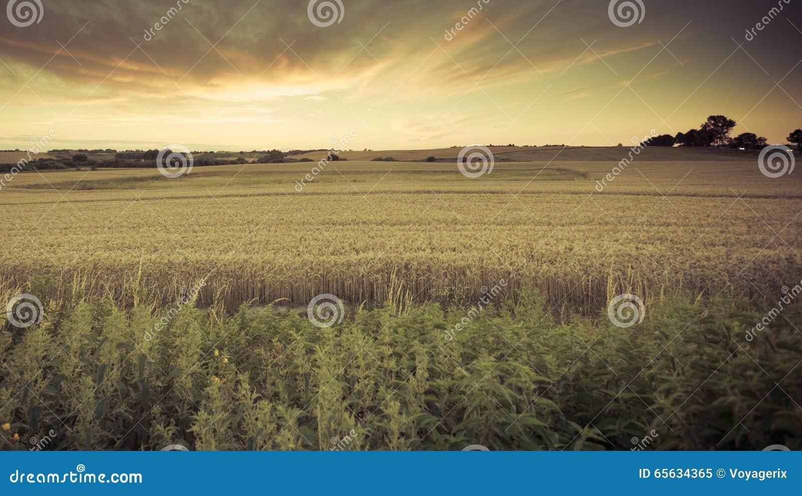 Beau coucher du soleil au-dessus de champ d été