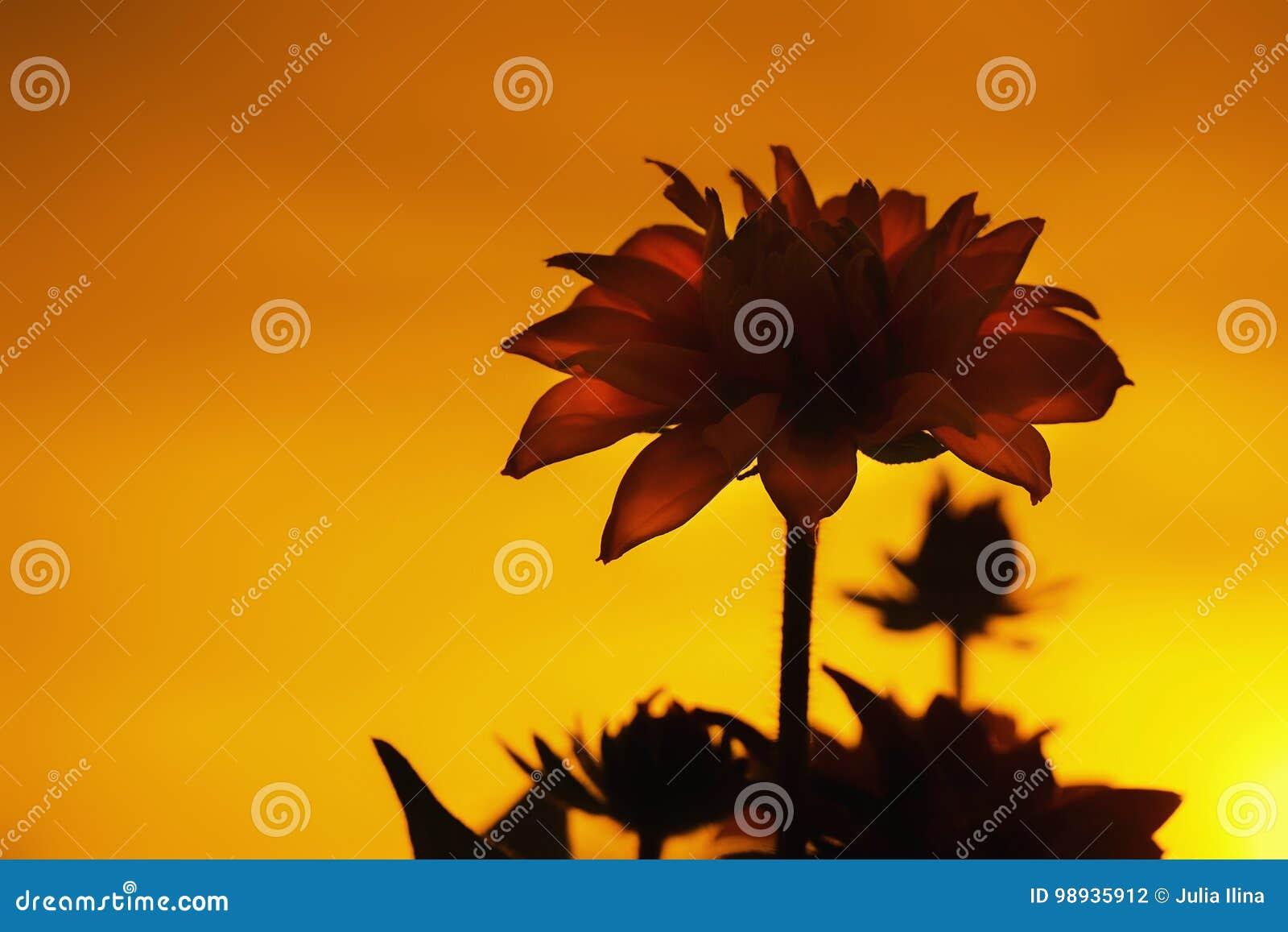 Beau Coucher Du Soleil Dans L\'ombre De Fleur De Jardin Photo stock ...