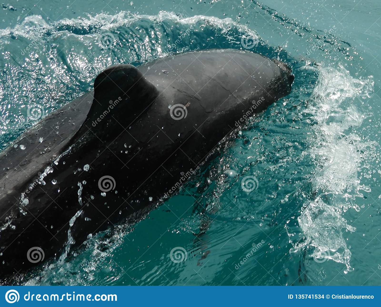 Beau dauphin en mer des Caraïbes