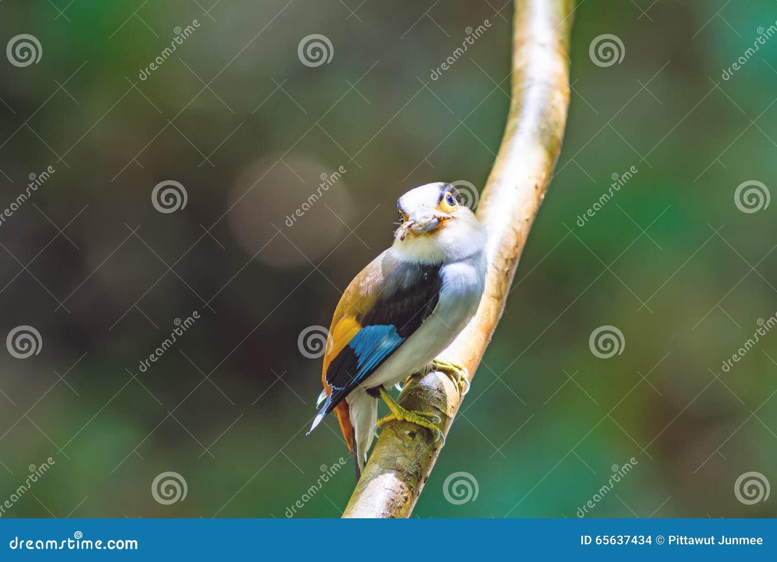 Beau de l oiseau de Broadbill d argent-breasted (lunatus de Serilophus)