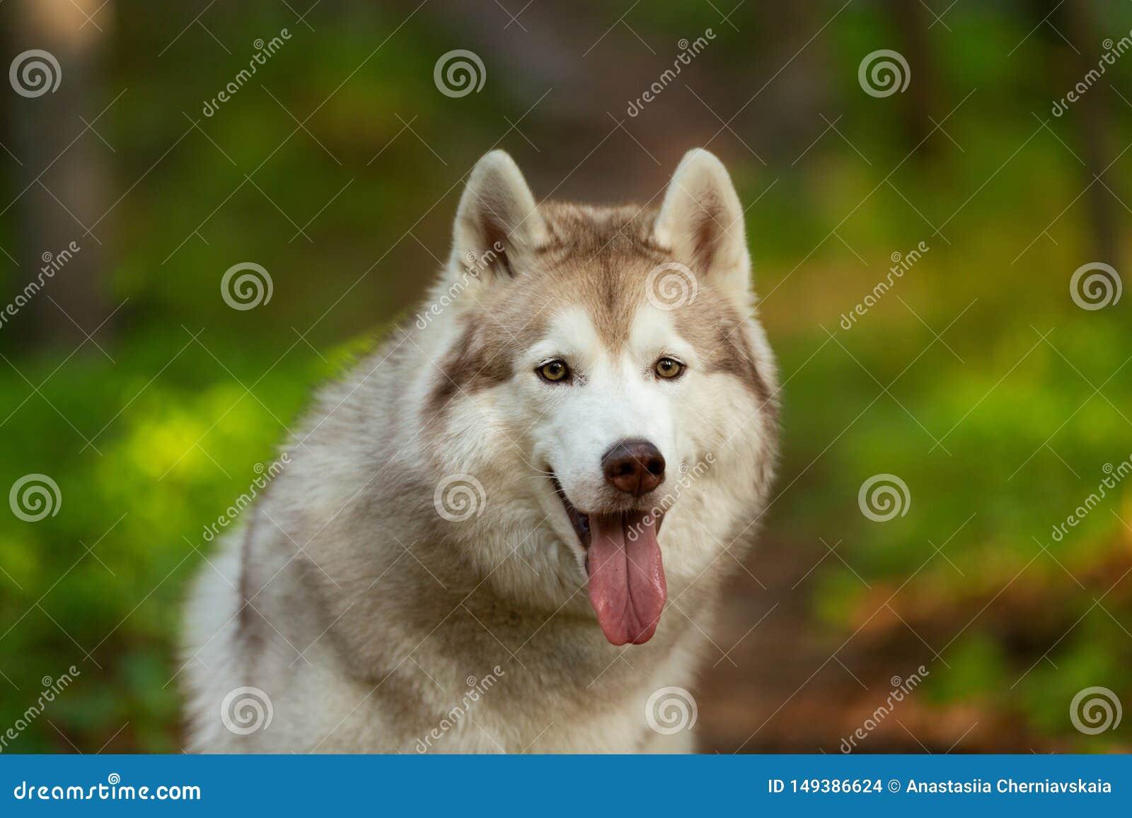 Beau et mignon chien enrou? sib?rien se reposant dans la for?t au coucher du soleil d or au printemps