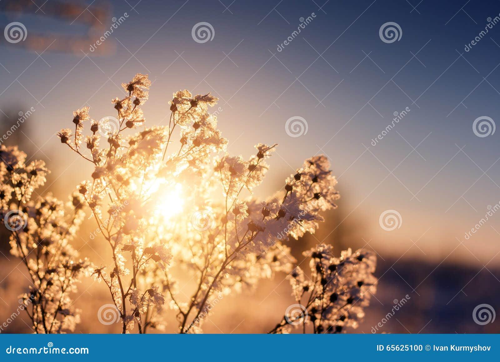 Beau fond de l hiver Coucher du soleil par la branche gelée