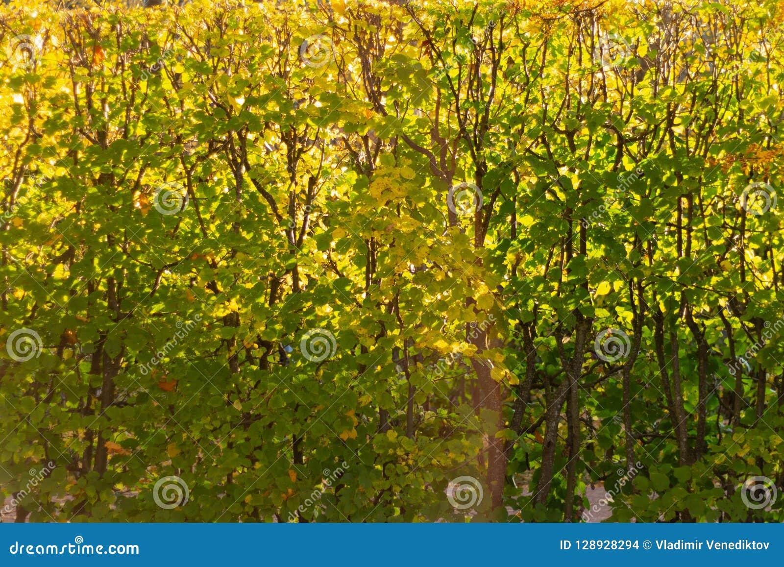Beau fond des feuilles d automne dans le jardin
