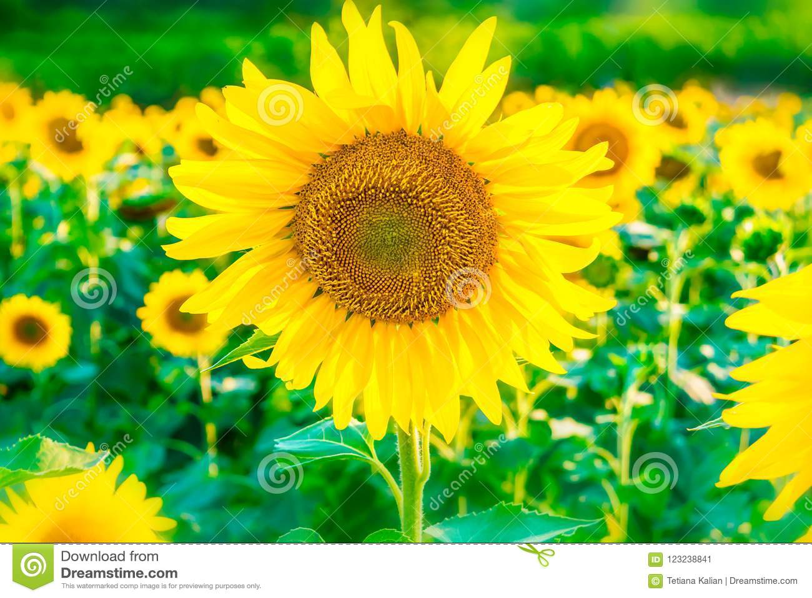 Beau fond lumineux de gisement de tournesol avec une grande fleur jaune de floraison au foyer
