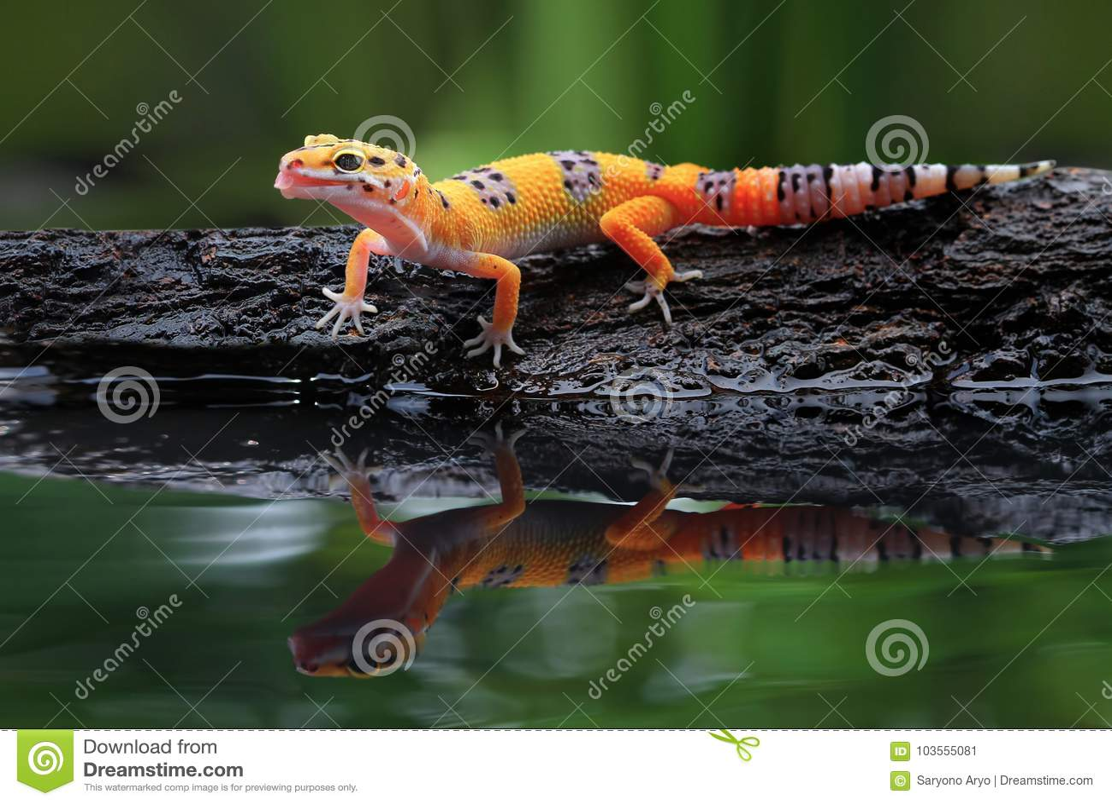Beau gecko de léopard par réflexion