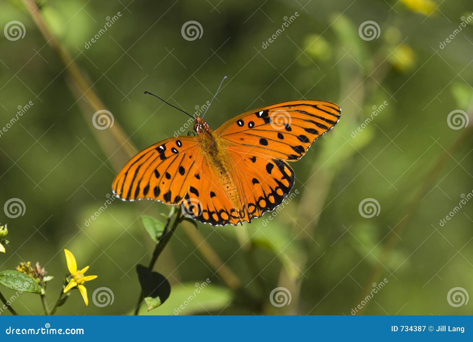 Beau guindineau orange