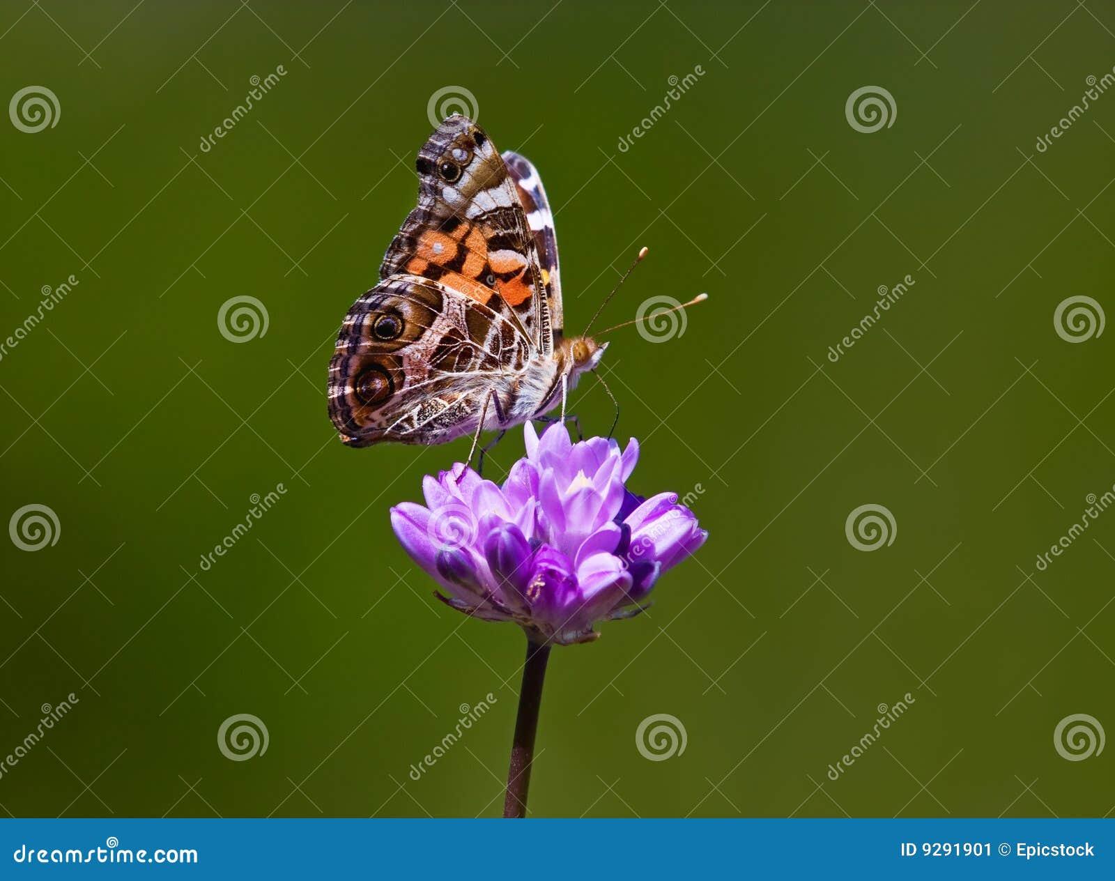 Beau guindineau sur la fleur