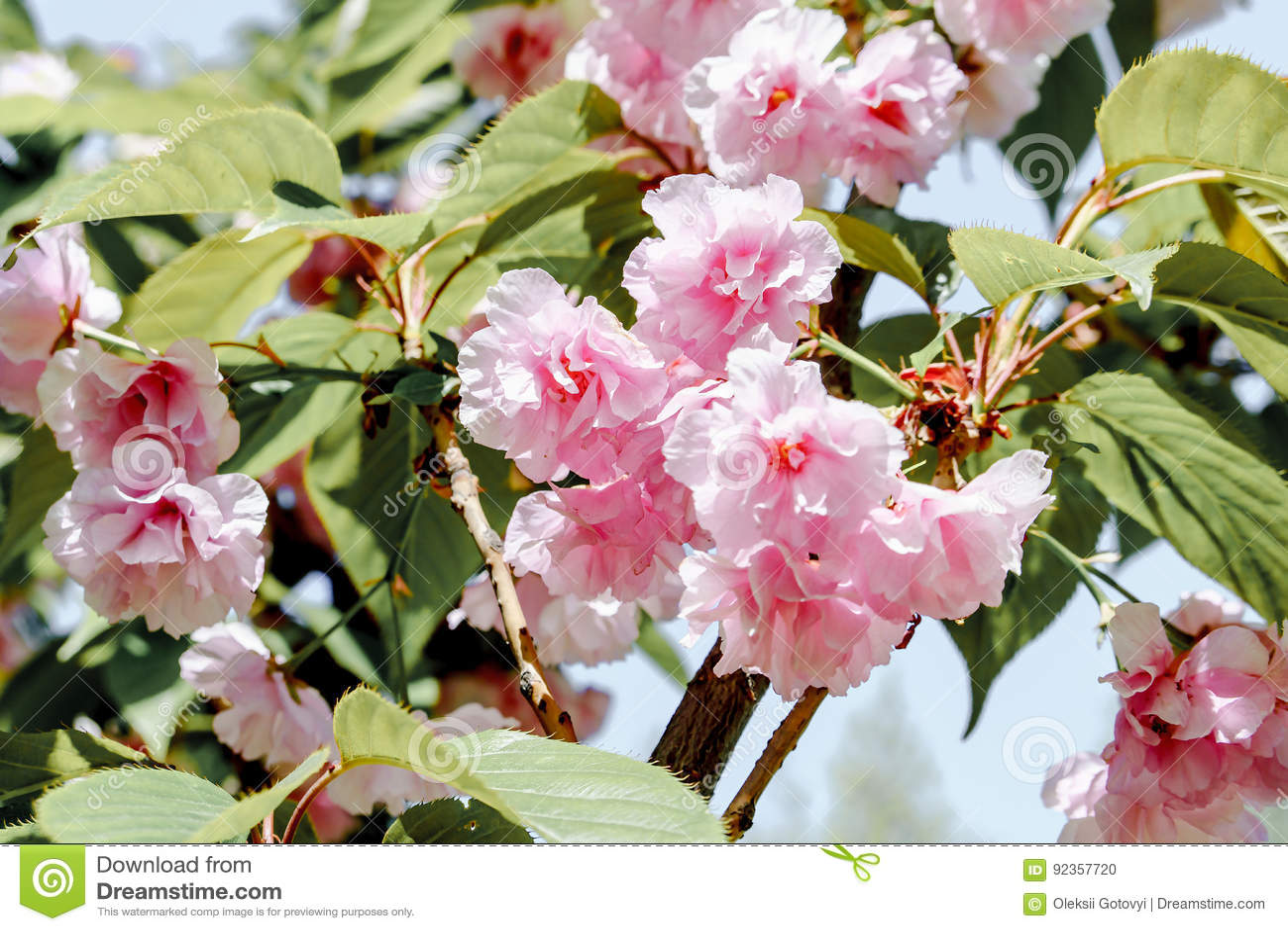 Beau Jardin Japonais De Fleur De Sakura En Avril Photo Stock Image