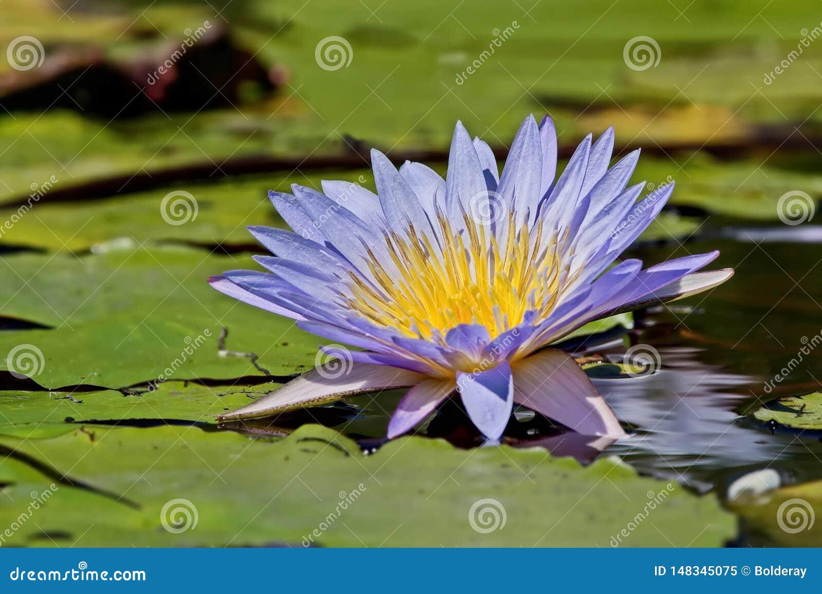 Beau lat de floraison de lotus Nelumbo sur la surface de l eau Horticulture pourpre de n?nuphar dans un ?tang de jardin