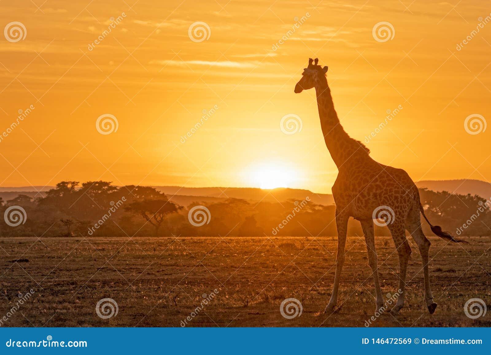 Beau lever de soleil dans Masai Mara