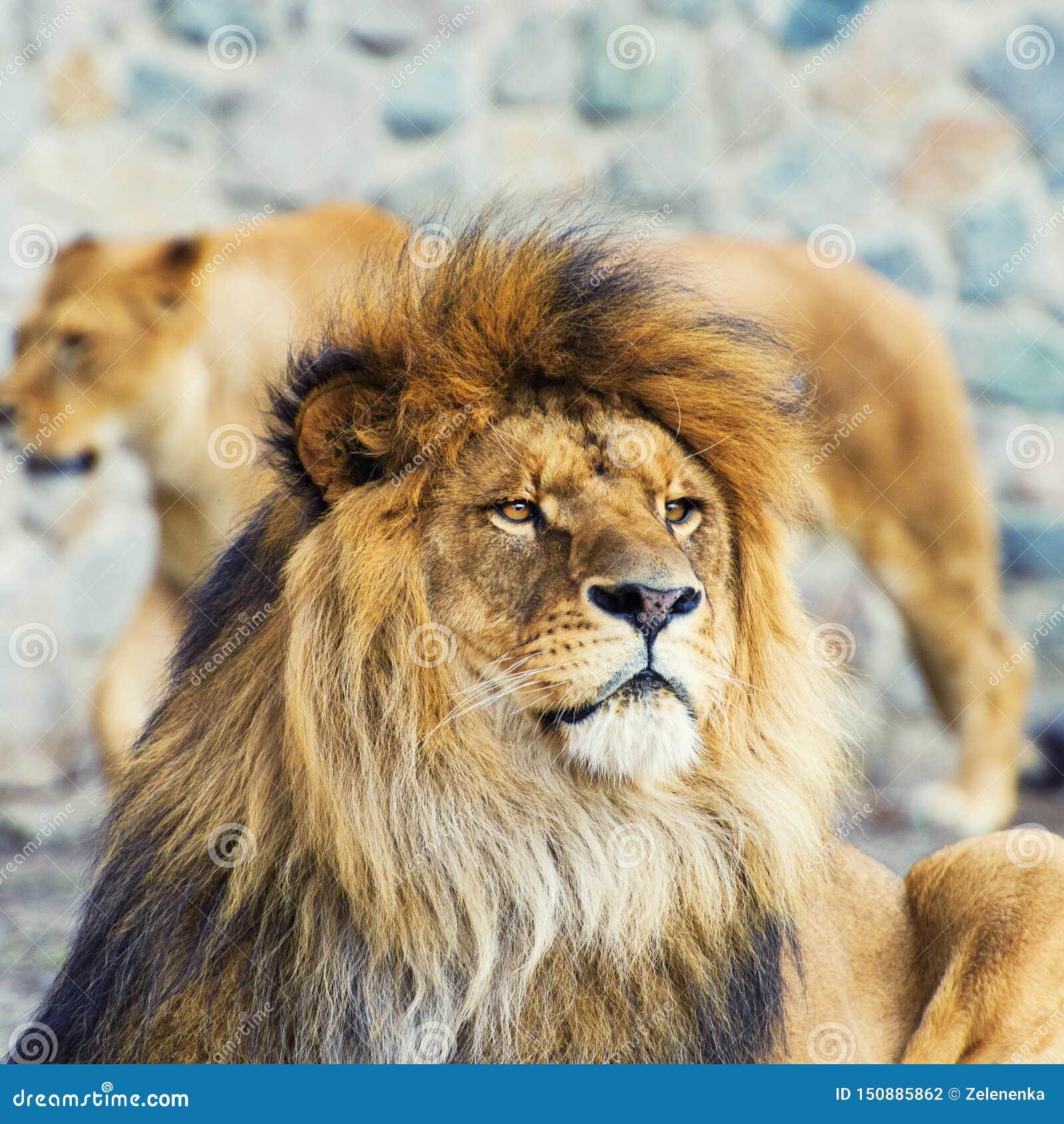 Beau lion puissant