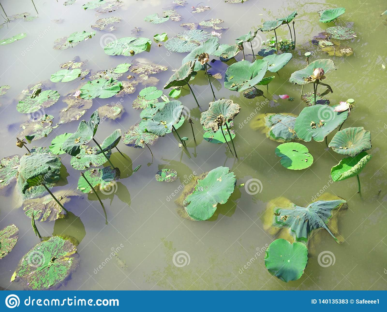 Beau lotus dans le regroupement
