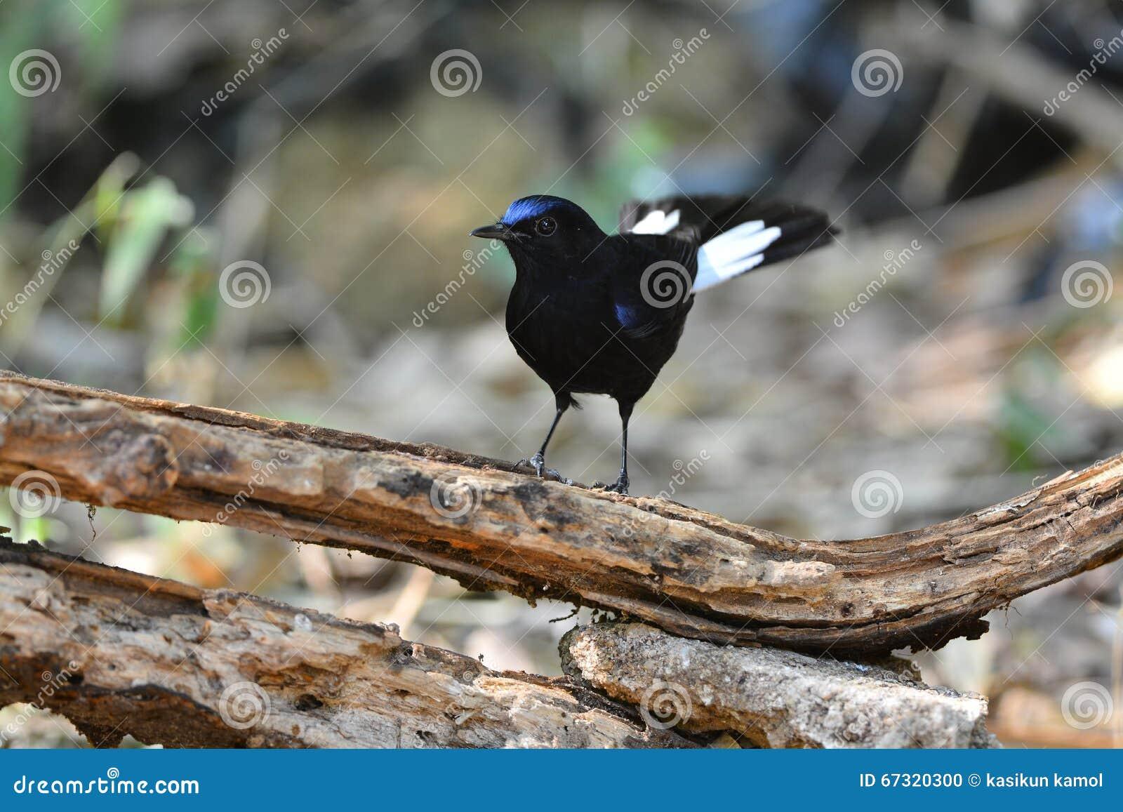 Beau mâle de Robin Bird Blanc-coupé la queue