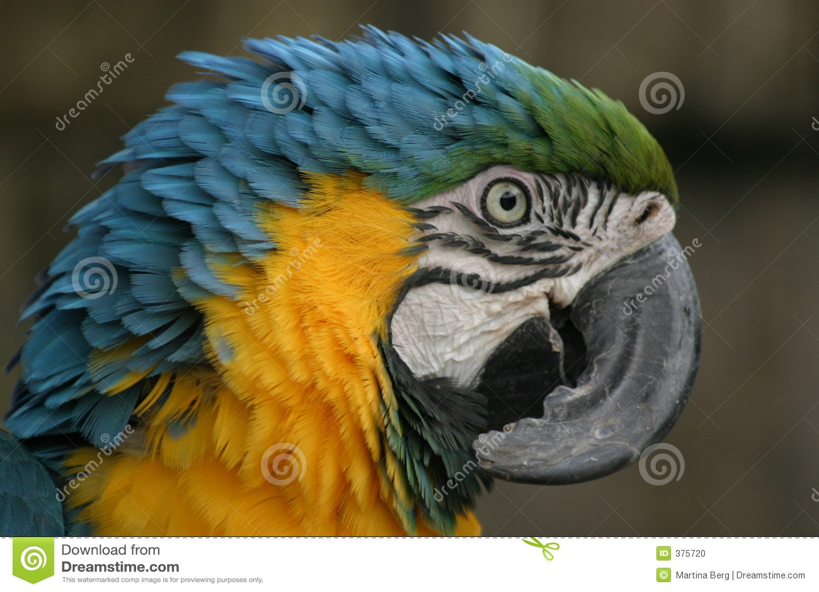 Beau macaw