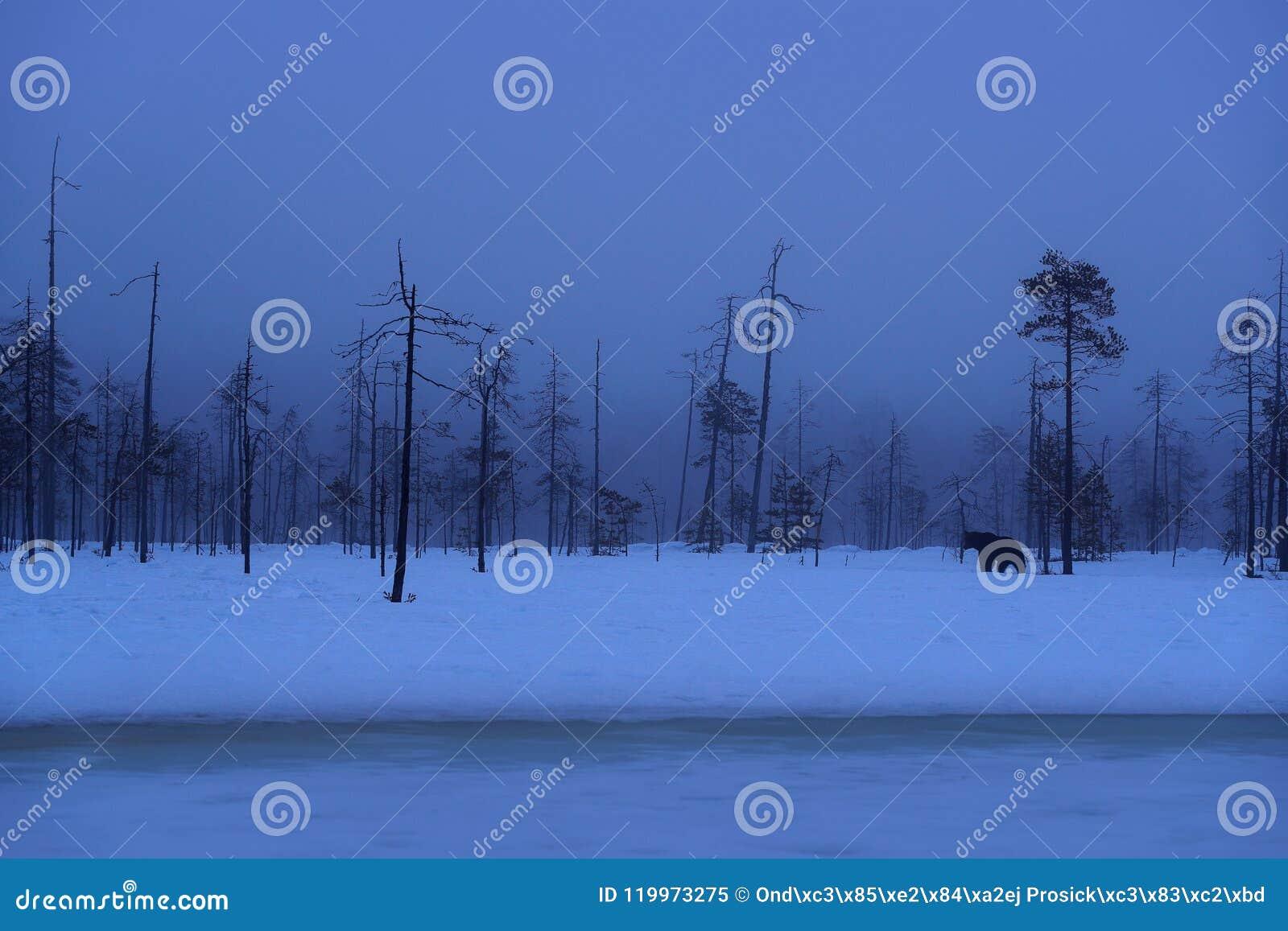 Beau mammifère brun marchant autour du lac avec la neige et la glace Créature dangereuse en bois de nature, habitat de pré Habita