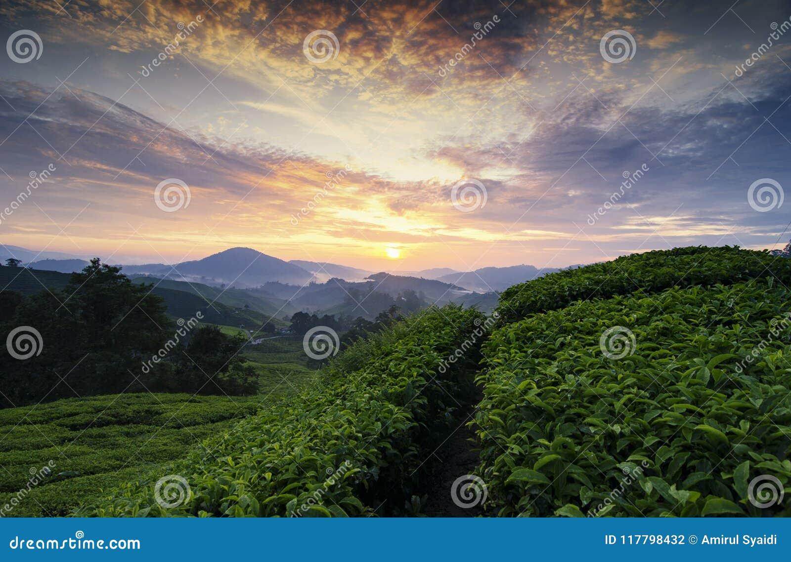 Beau matin, paysage de plantation de thé au-dessus de backgroun de lever de soleil