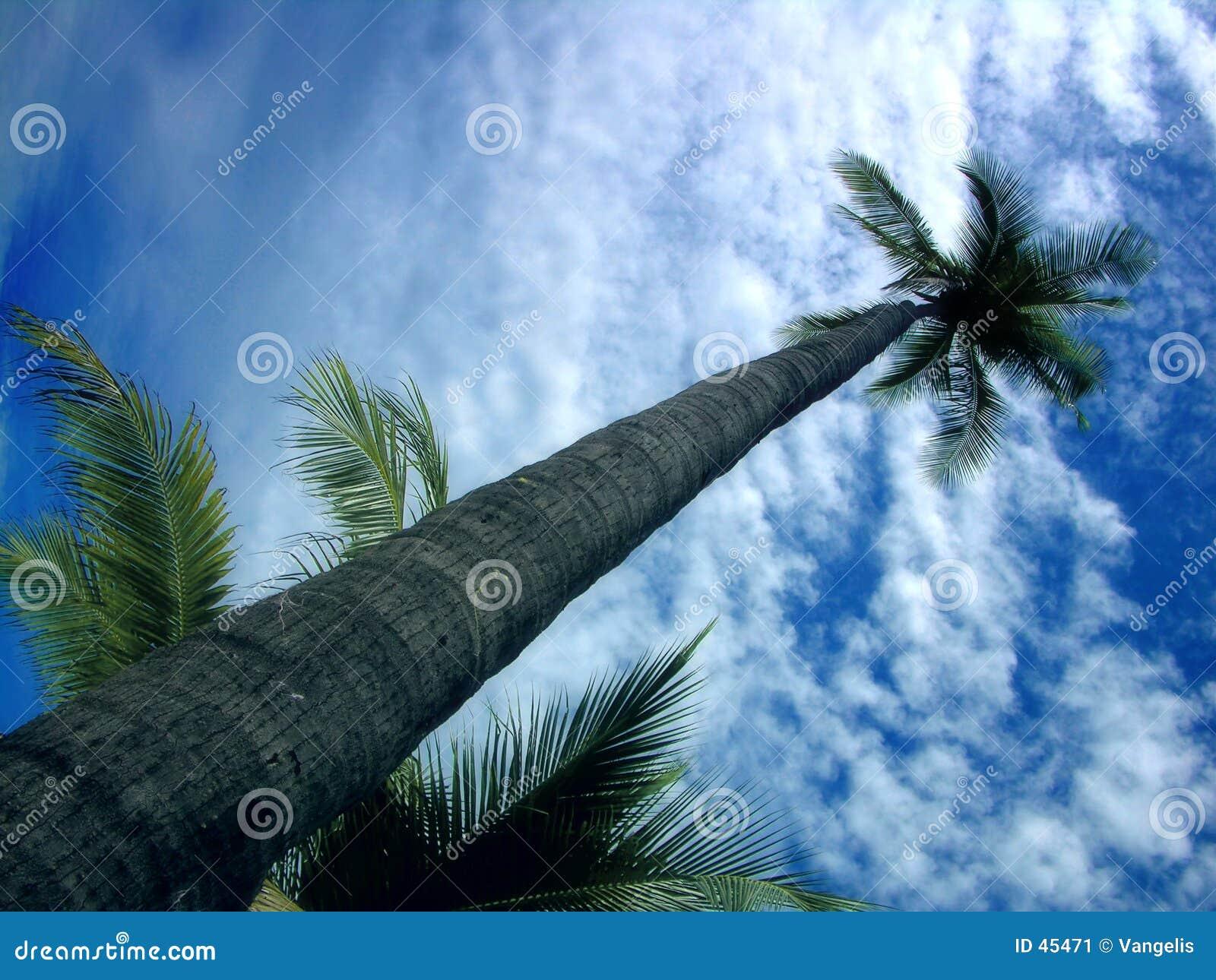 Beau palmier contre le ciel bleu