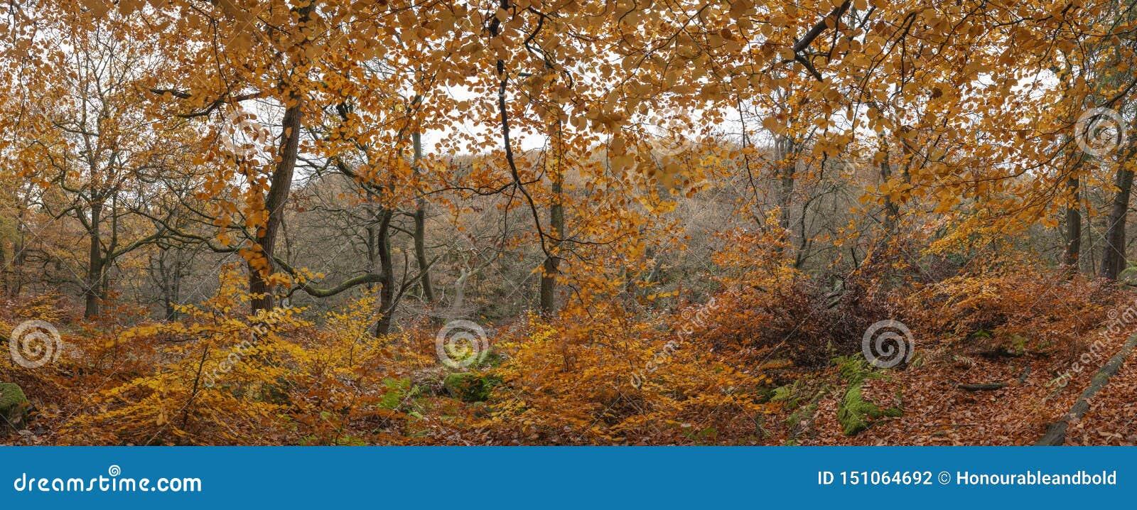 Beau panorama vibrant coloré de paysage d Autumn Fall de région boisée de forêt dans le secteur maximal en Angleterre