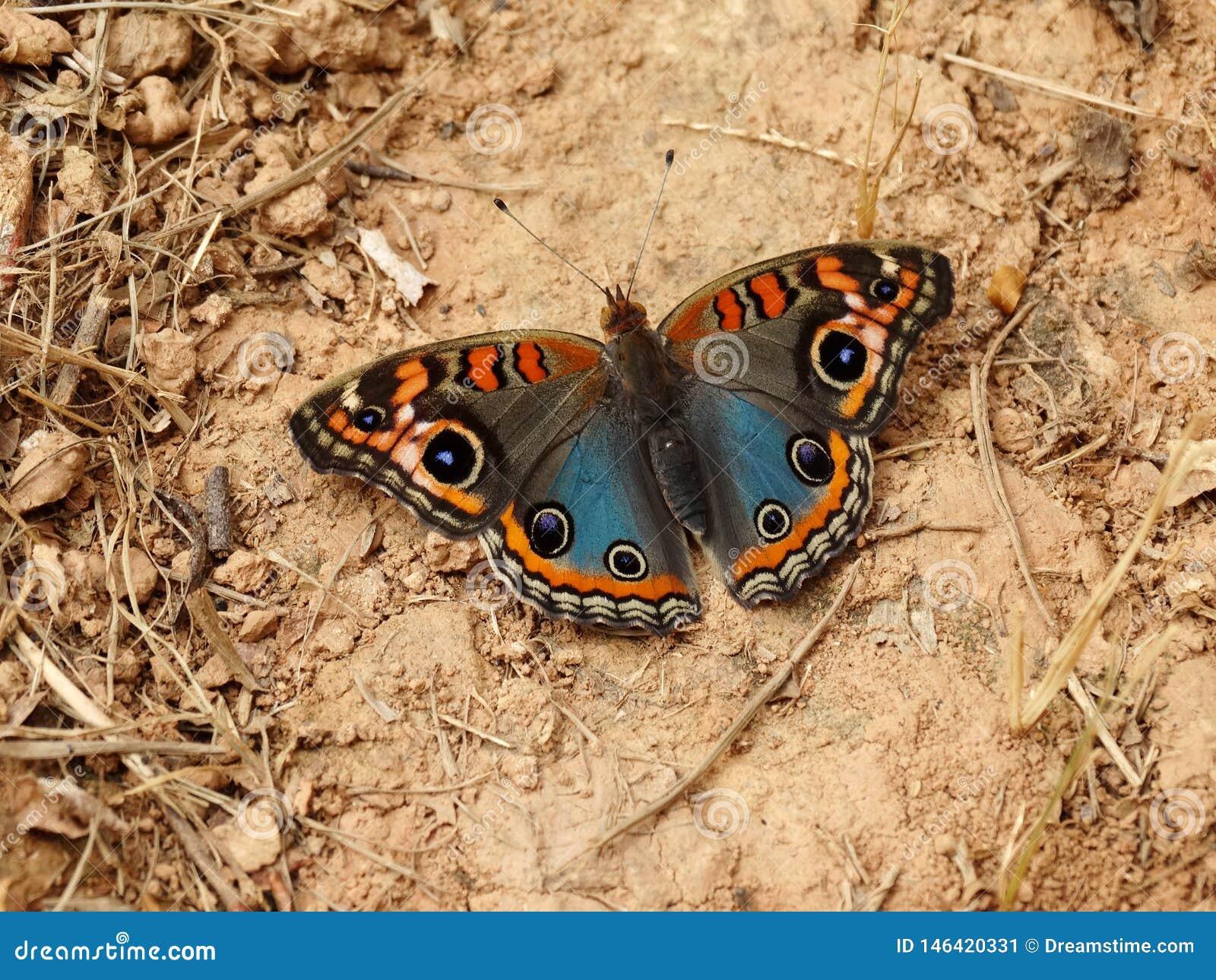 Beau papillon de maronnier américain de palétuvier sur la terre sèche