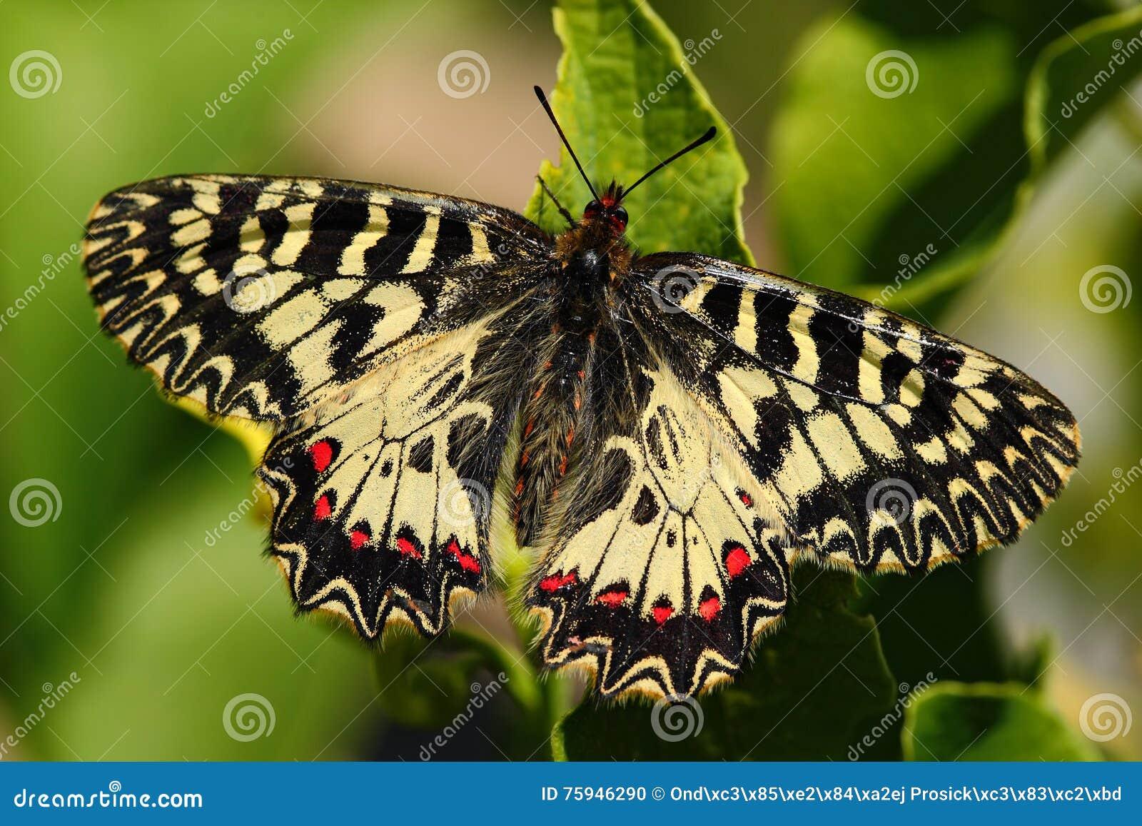 Beau papillon Feston du sud de papillon gentil, polyxena de Zerynthia, suçant le nectar de la fleur vert-foncé Papillon dans