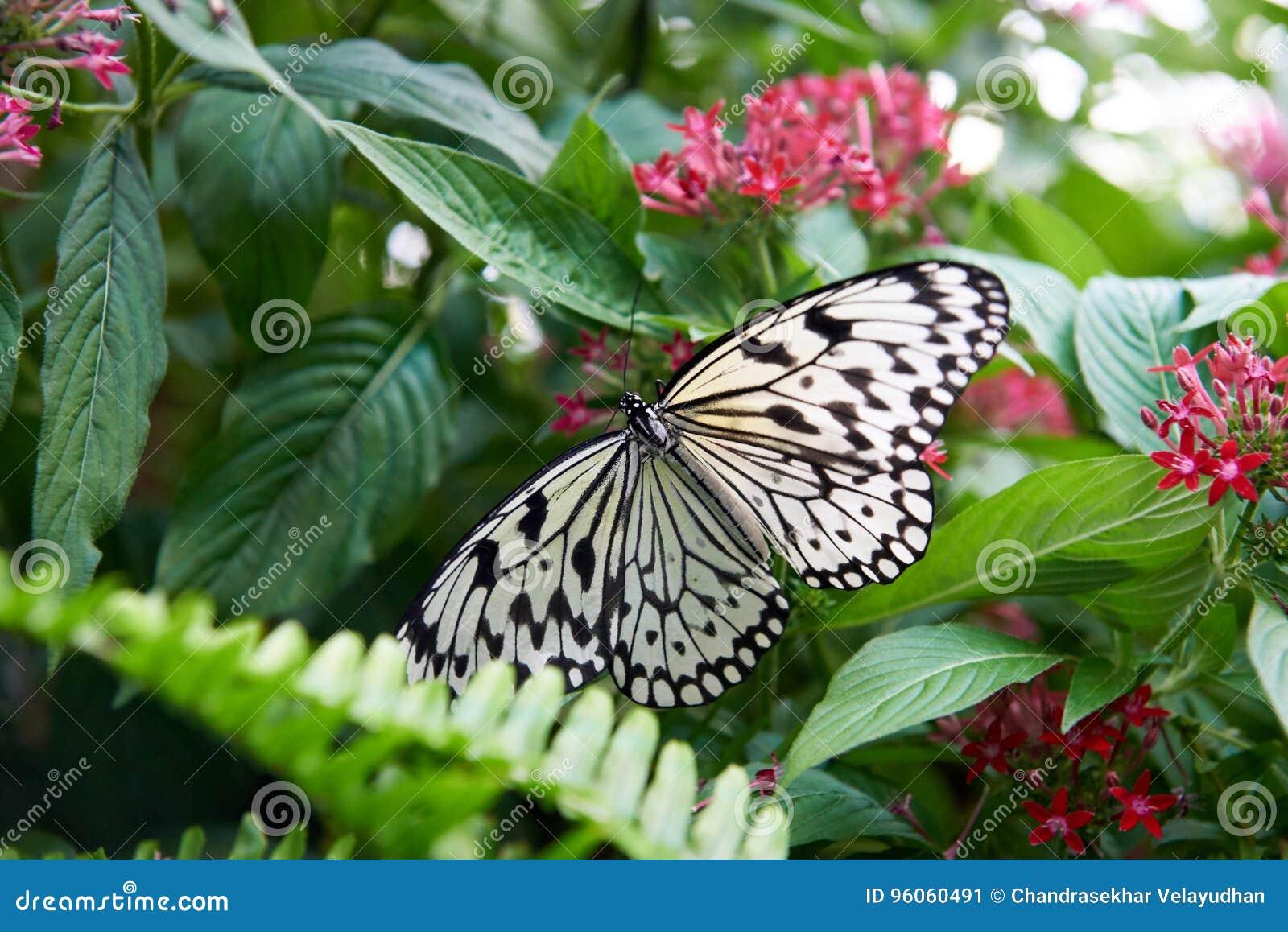Beau papillon noir et blanc été perché sur une feuille