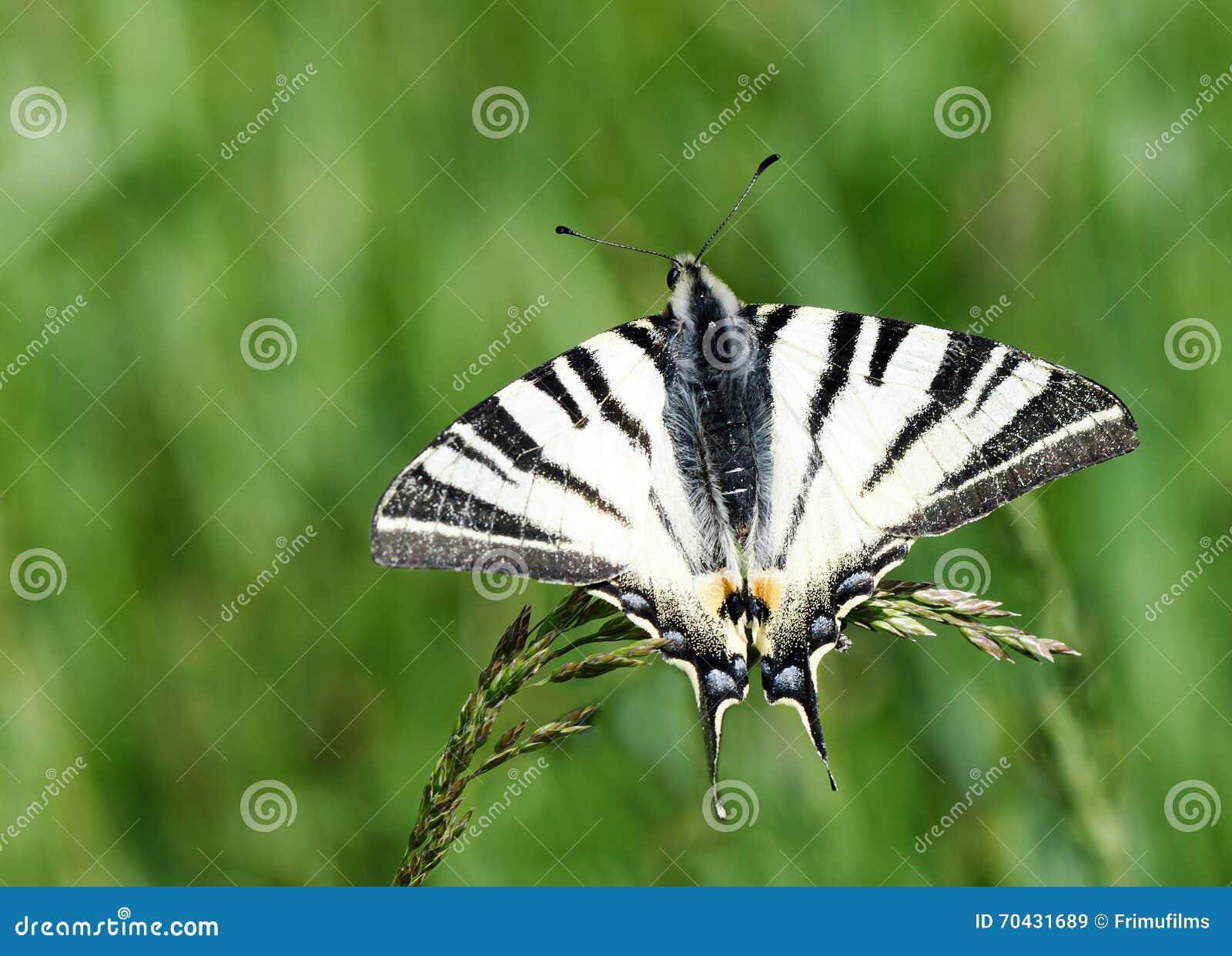 beau papillon noir et blanc image stock image du animal fond 70431689. Black Bedroom Furniture Sets. Home Design Ideas